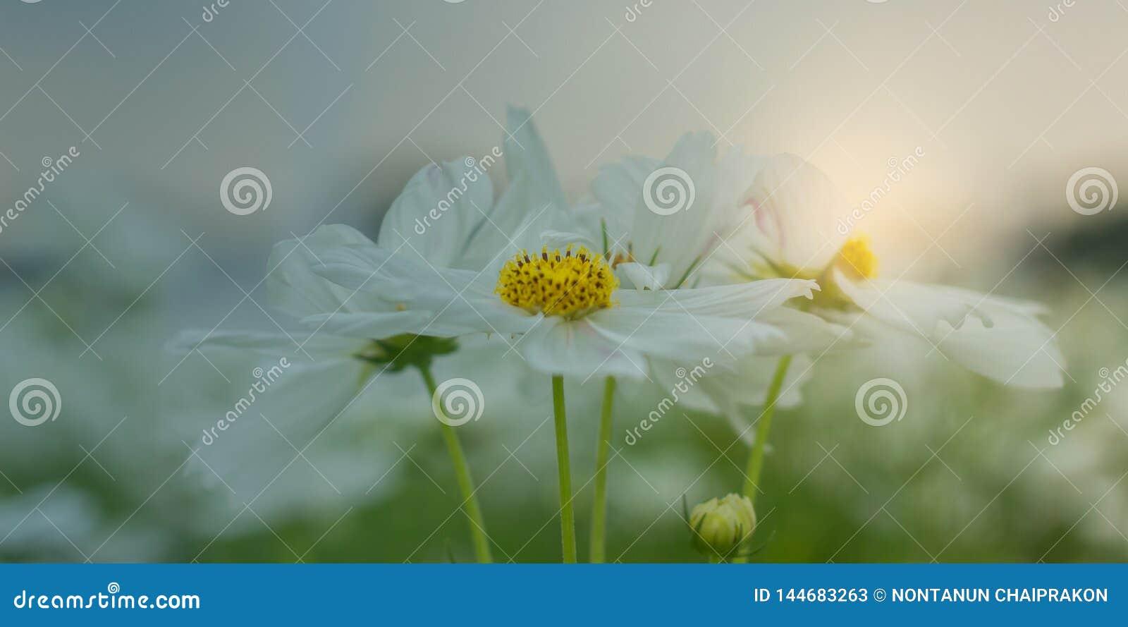 Flor branca do cosmos que floresce belamente para o fundo