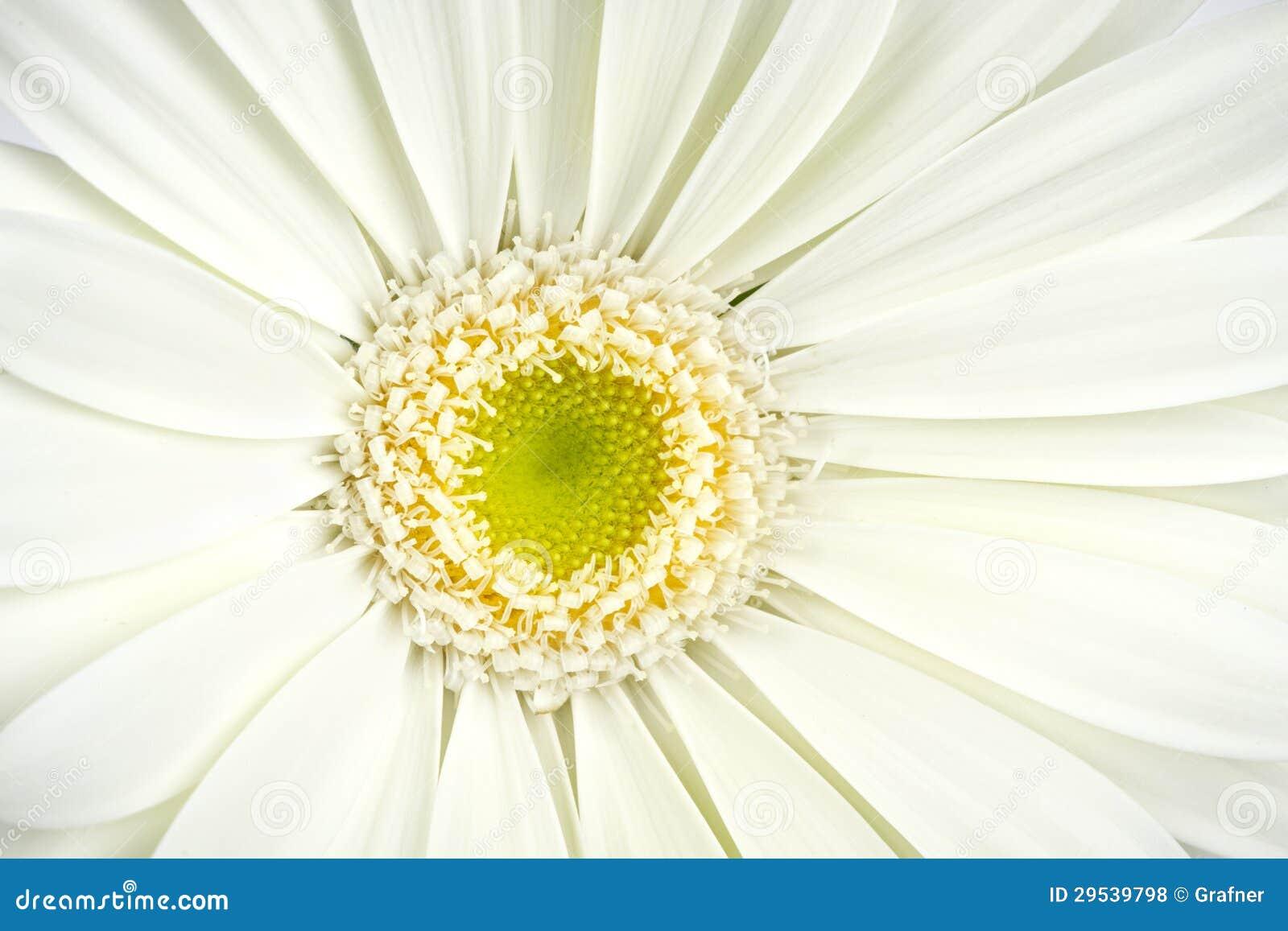 Flor branca do gerbera