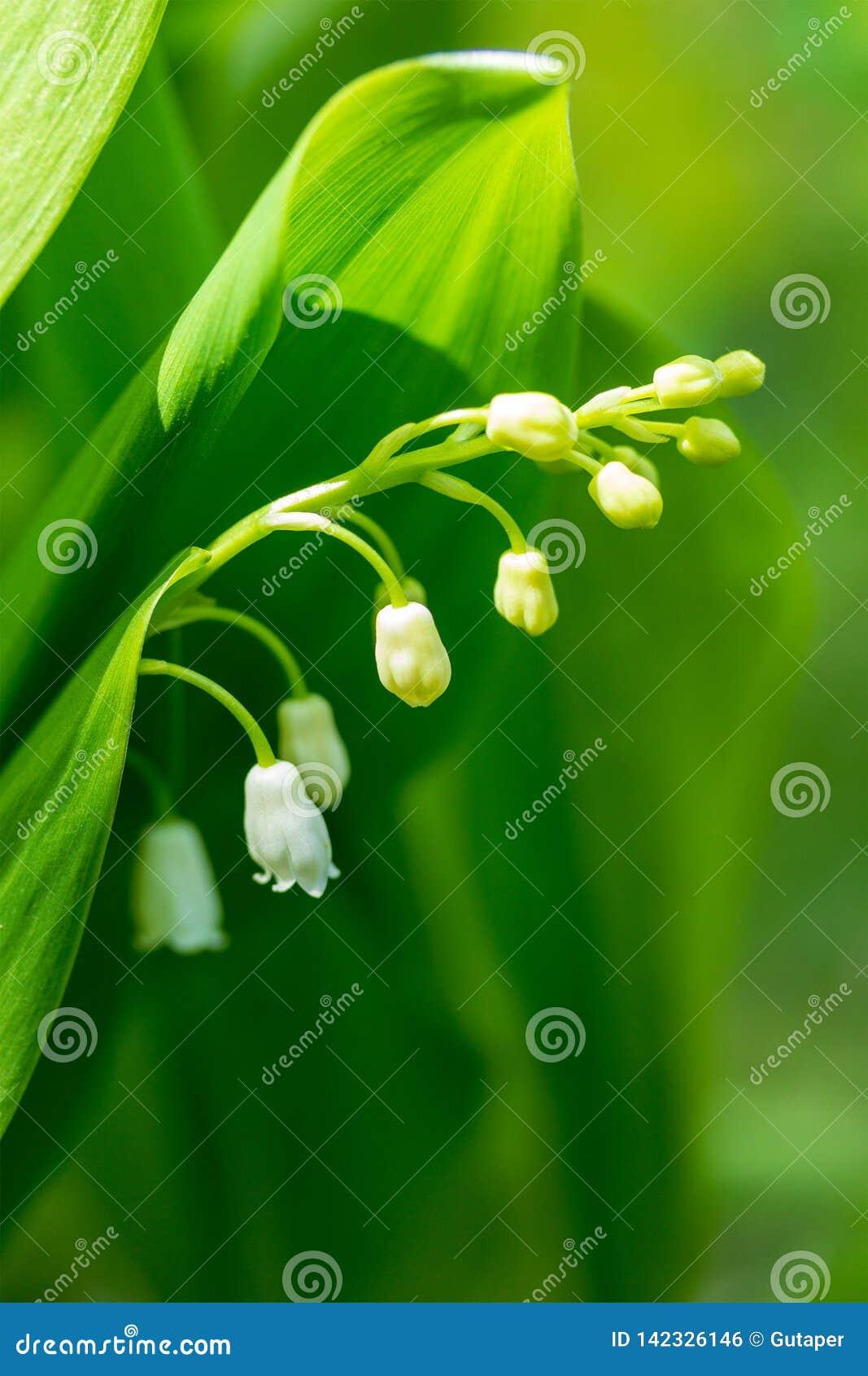 Flor branca do lírio do vale em um fundo das folhas verdes