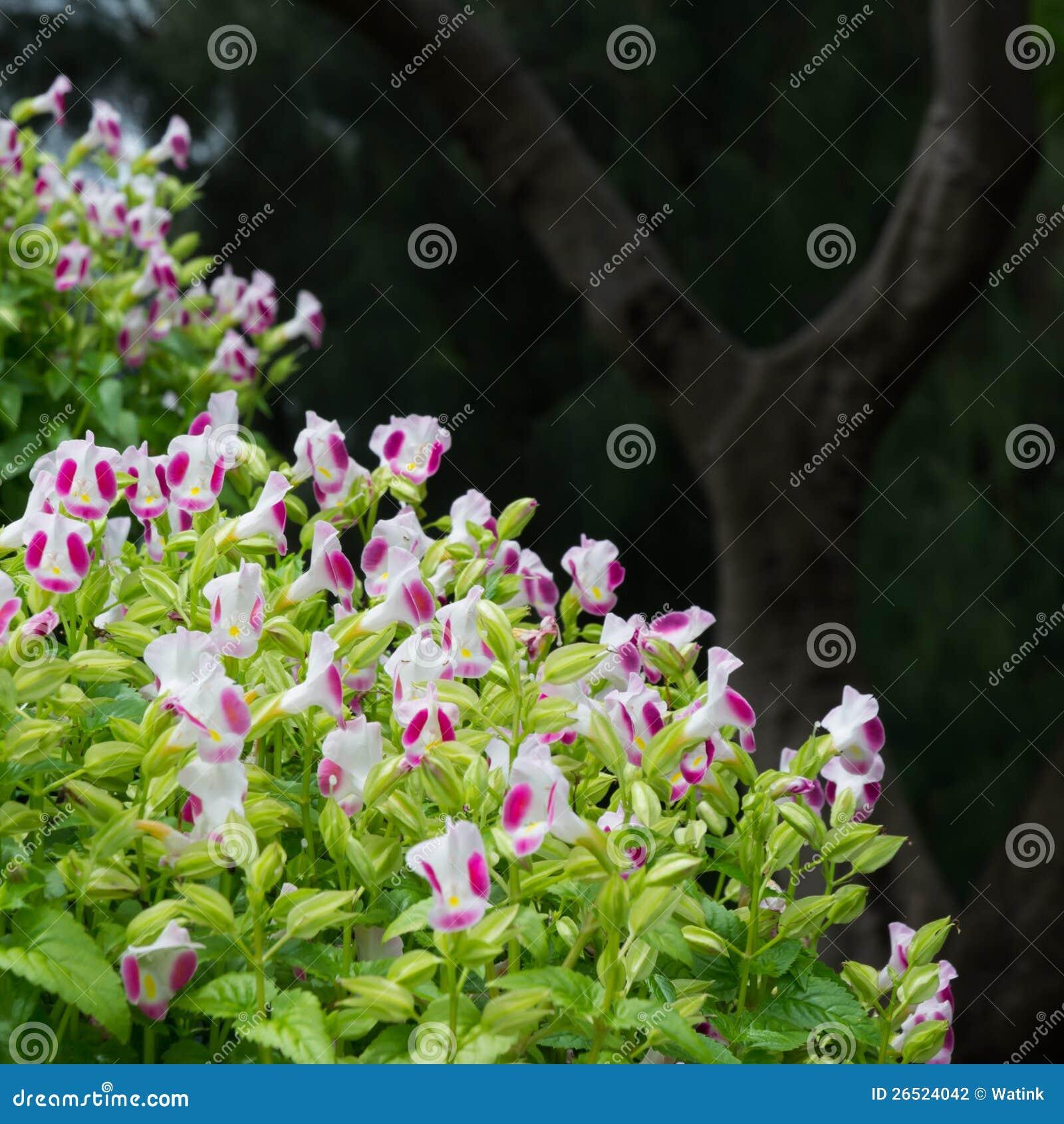 Flor branca e cor-de-rosa