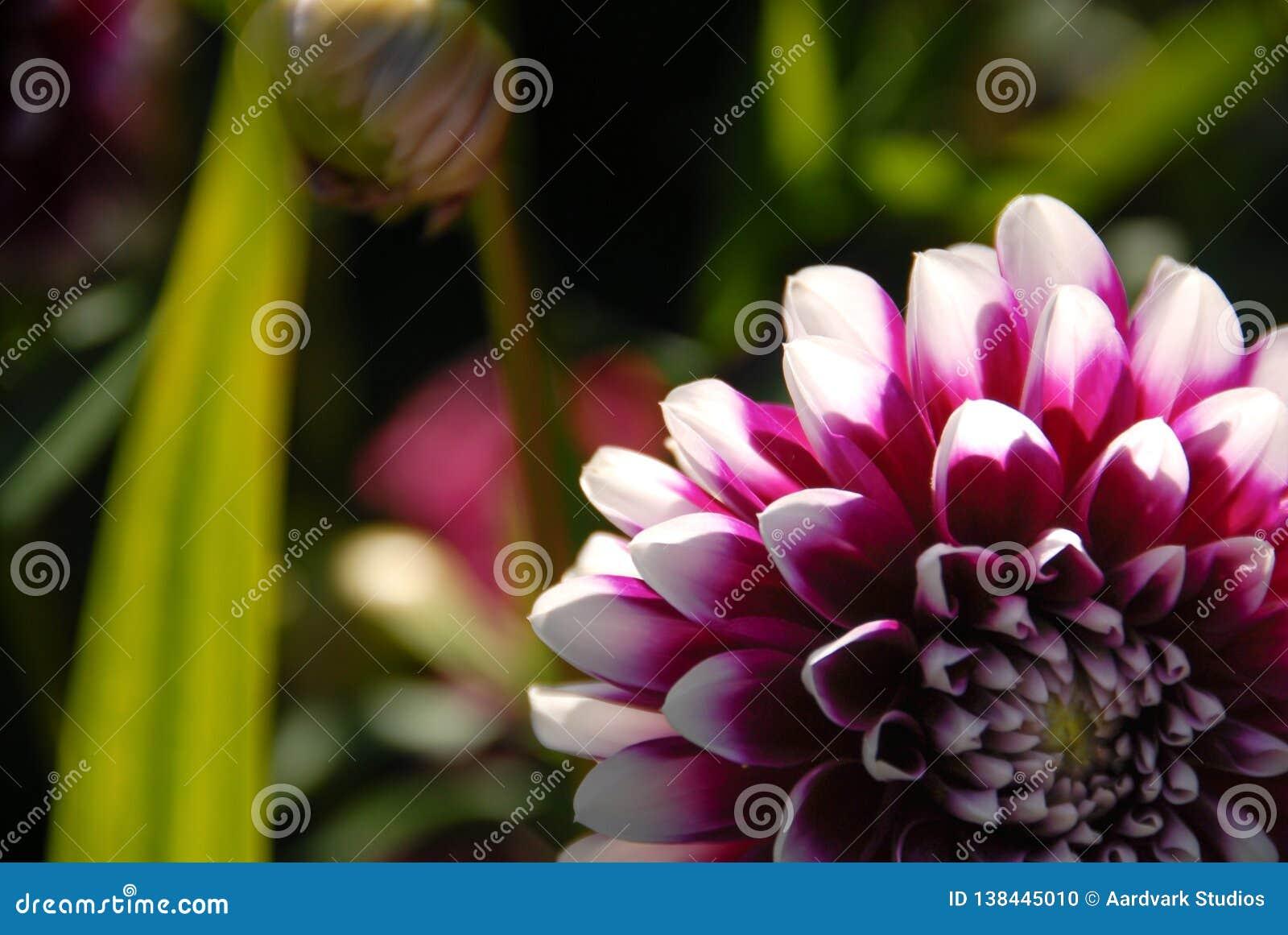 A flor branca e violeta da dália colheu