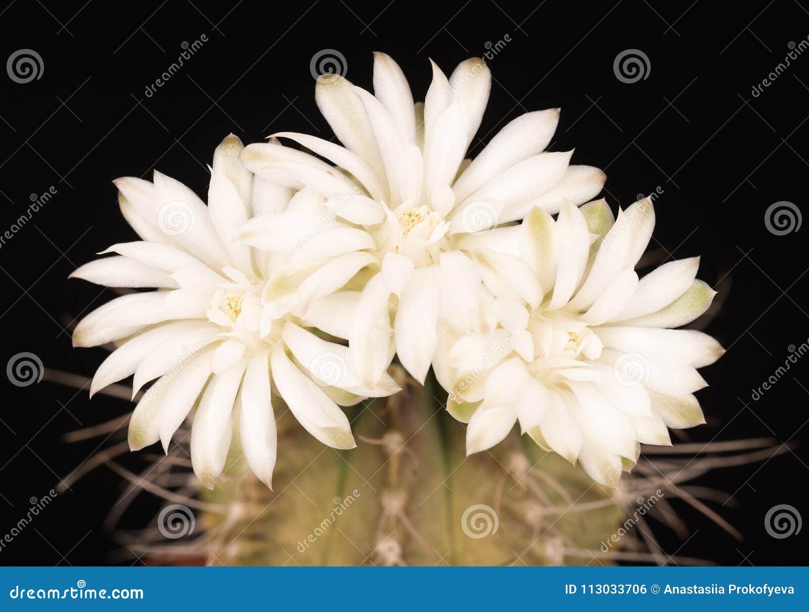 Flor brillante del cactus