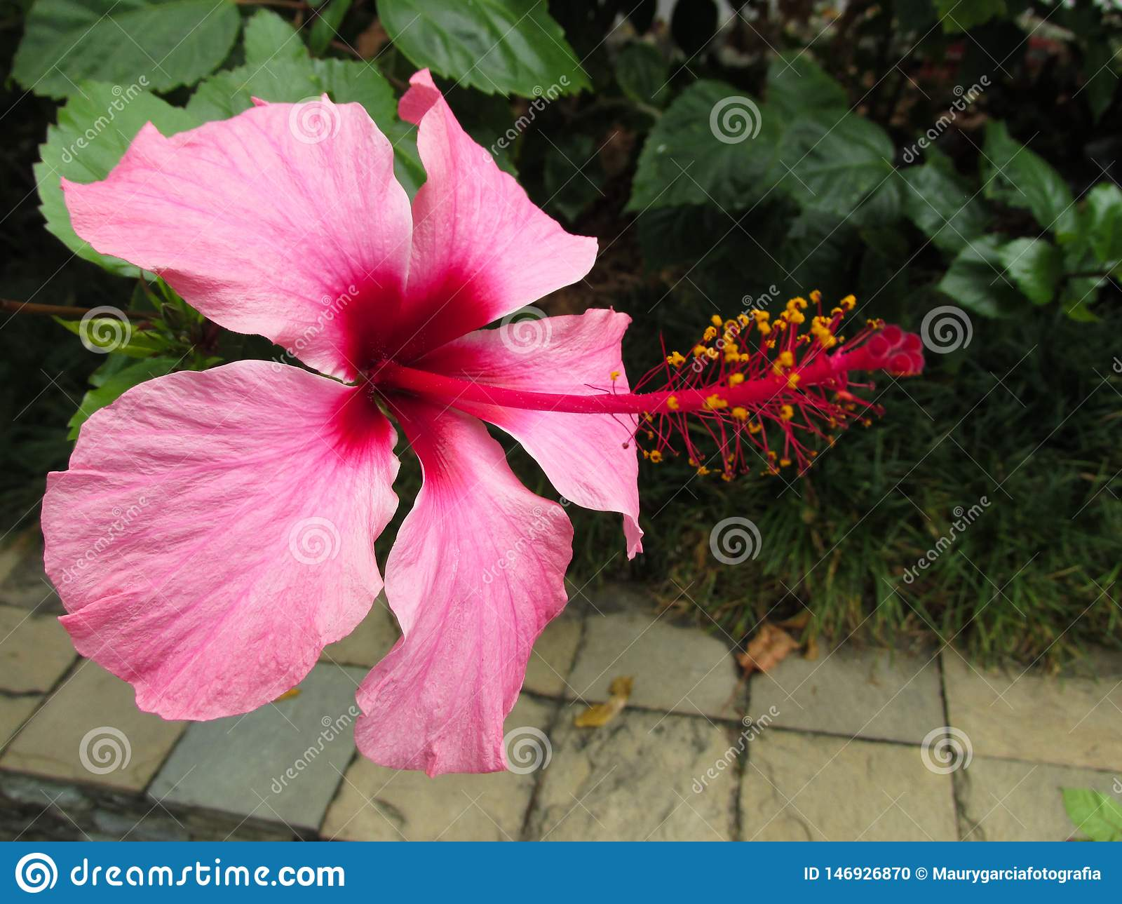 Flor Cayena En Colores Rojizos