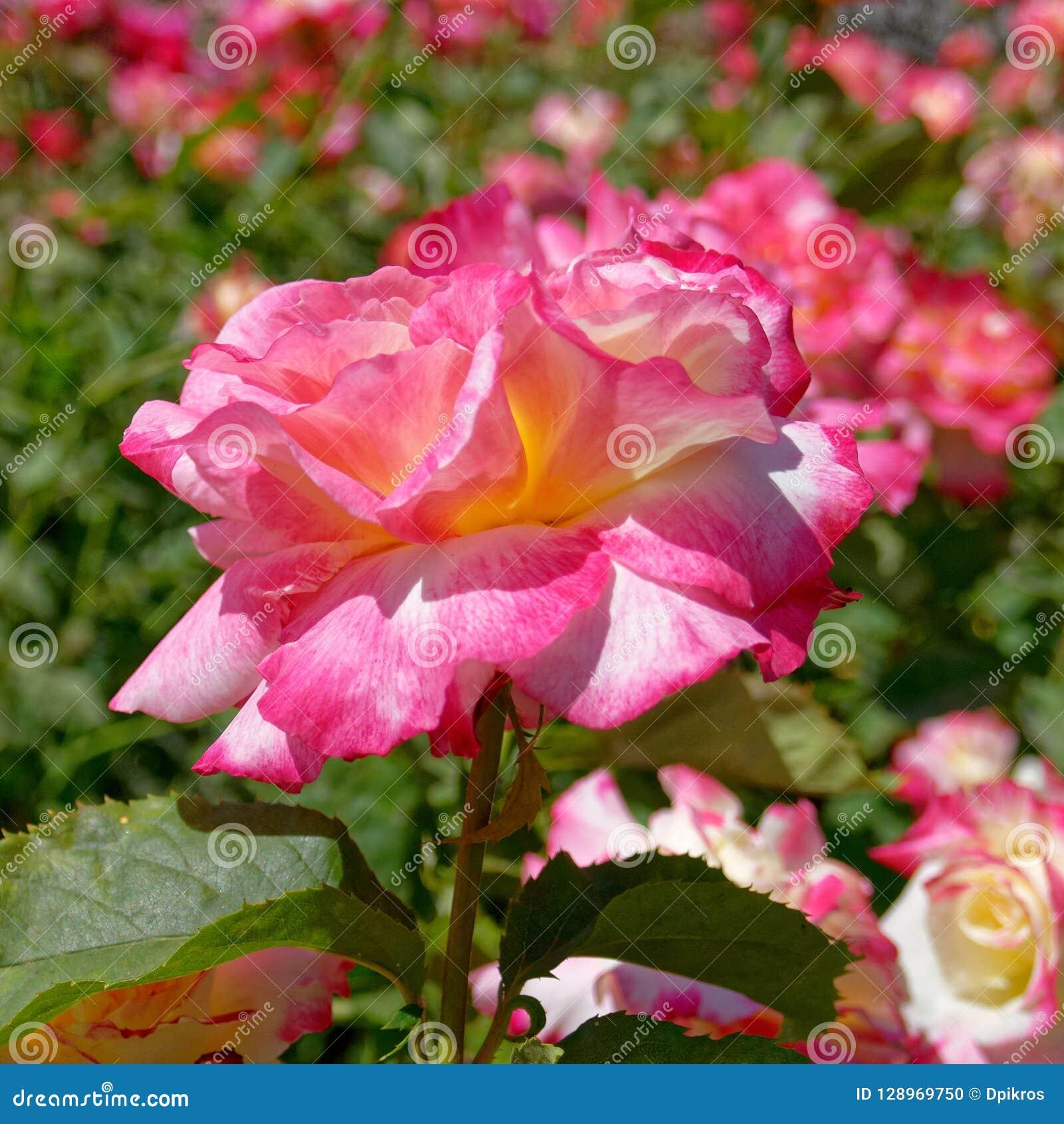 Flor color de rosa colorida en el jardín, bokeh fuerte
