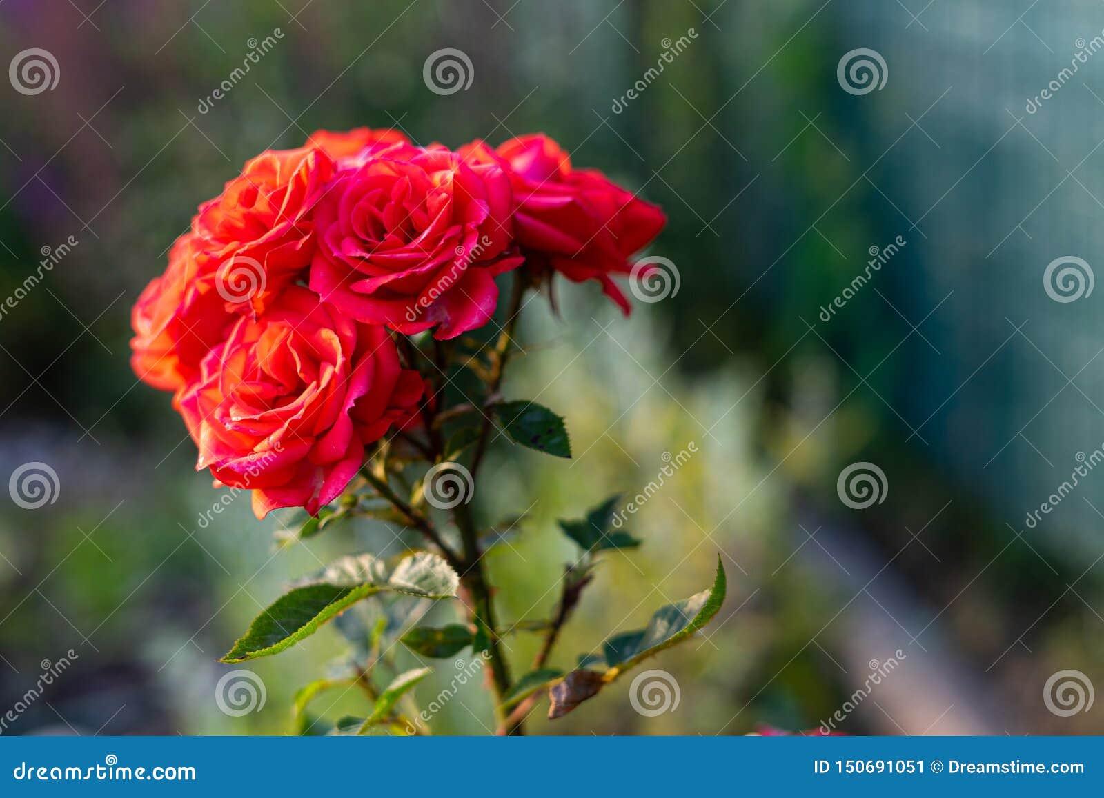 Flor color de rosa del rojo hermoso Fondo