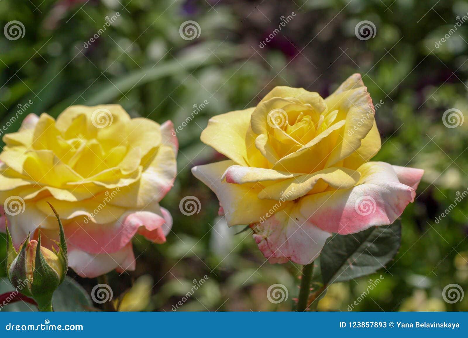 Flor color de rosa hermosa