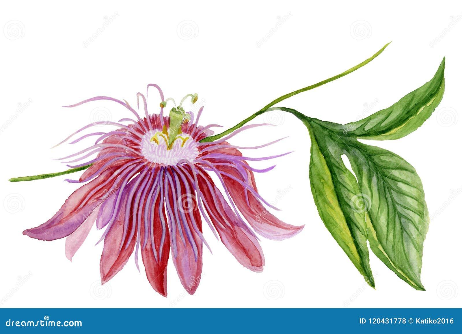 Flor colorida hermosa de la pasión de la pasionaria en una ramita con las hojas verdes Aislado en el fondo blanco Pintura de la a