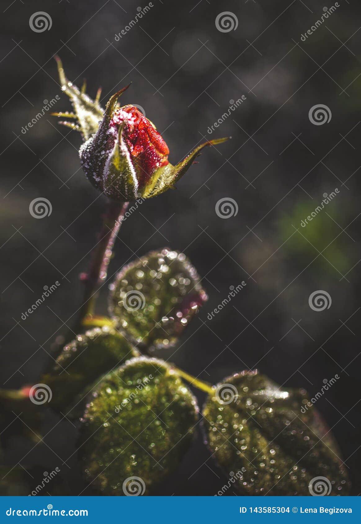 Flor congelada