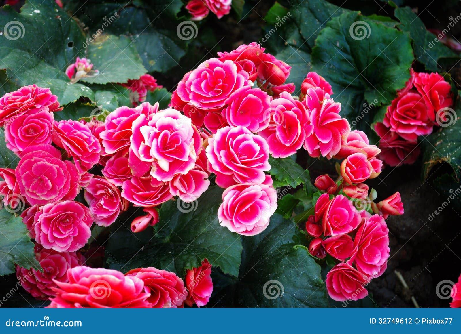 Flor Corderosa Agradável No Jardim Fotografia de Stock  Imagem