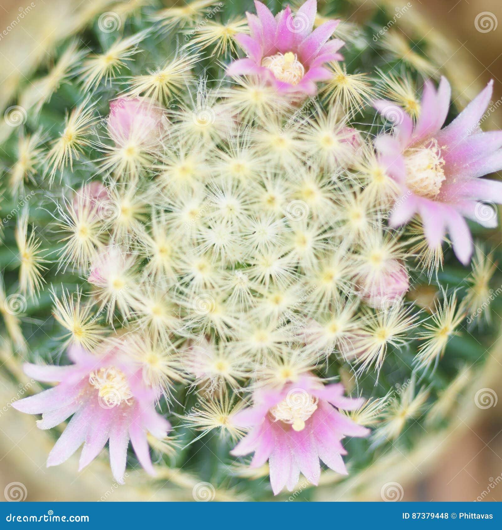 Flor cor-de-rosa bonita do cacto que floresce no jardim