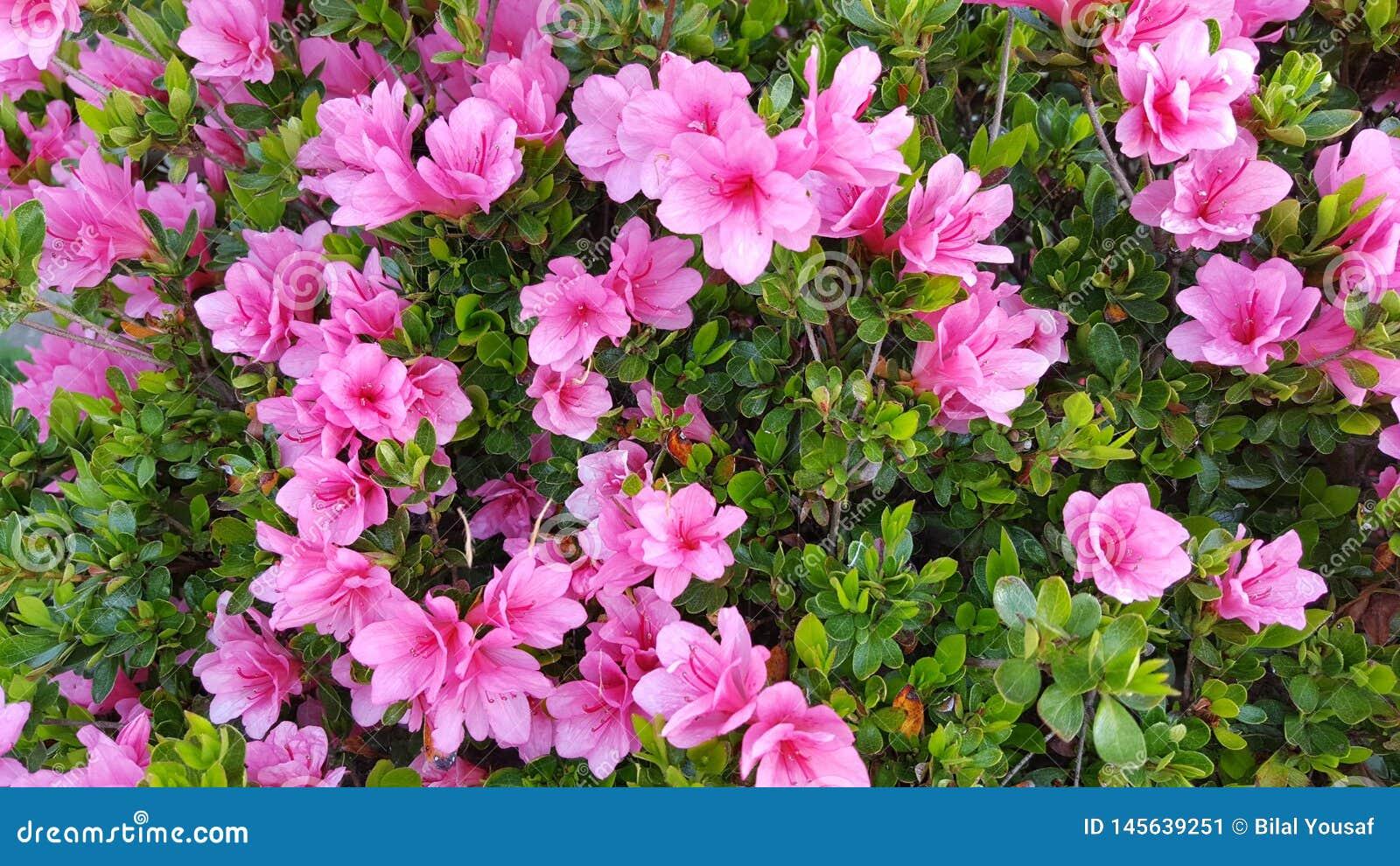 Flor cor-de-rosa da az?lea