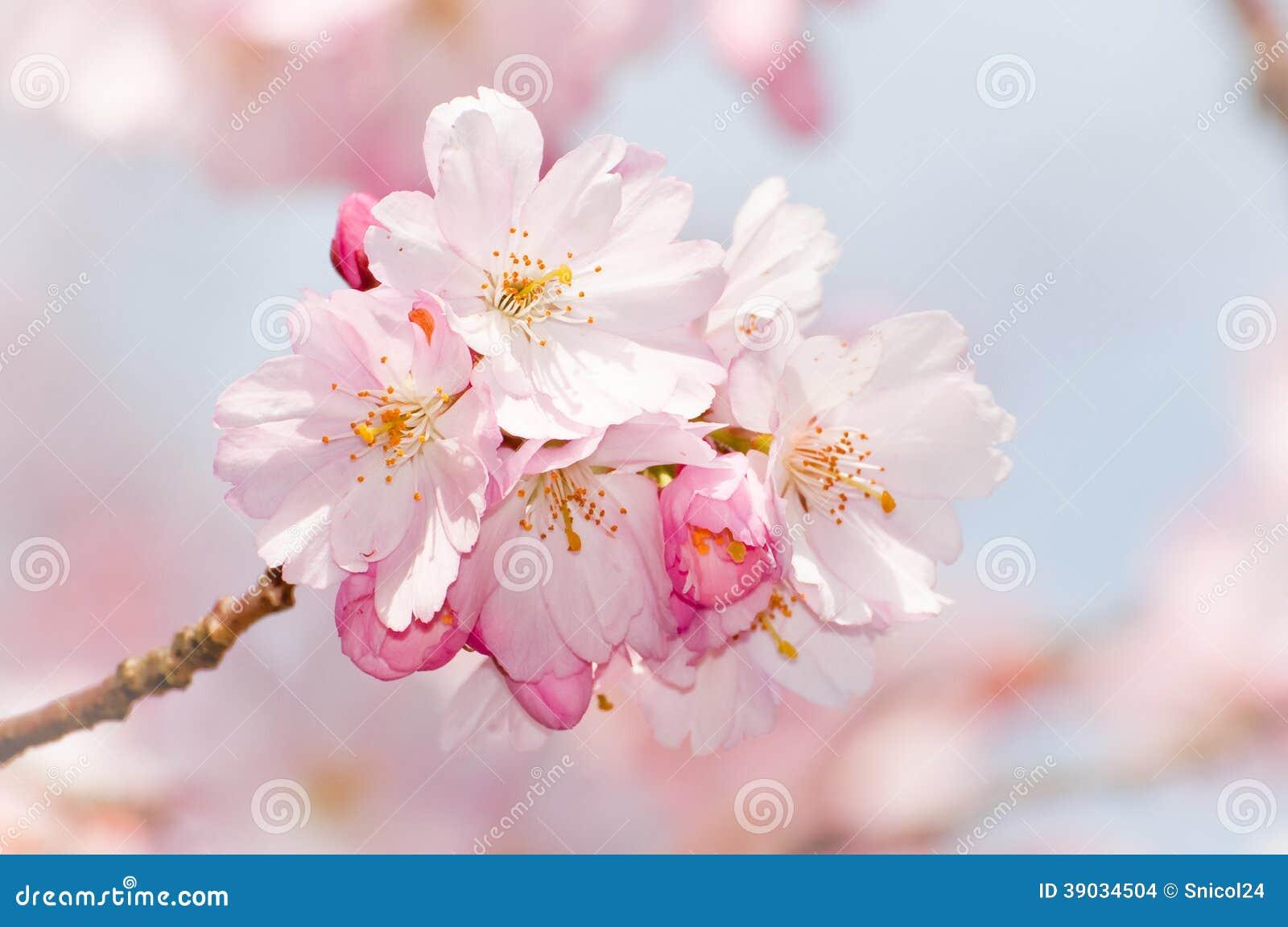 Flor cor-de-rosa da flor da cereja