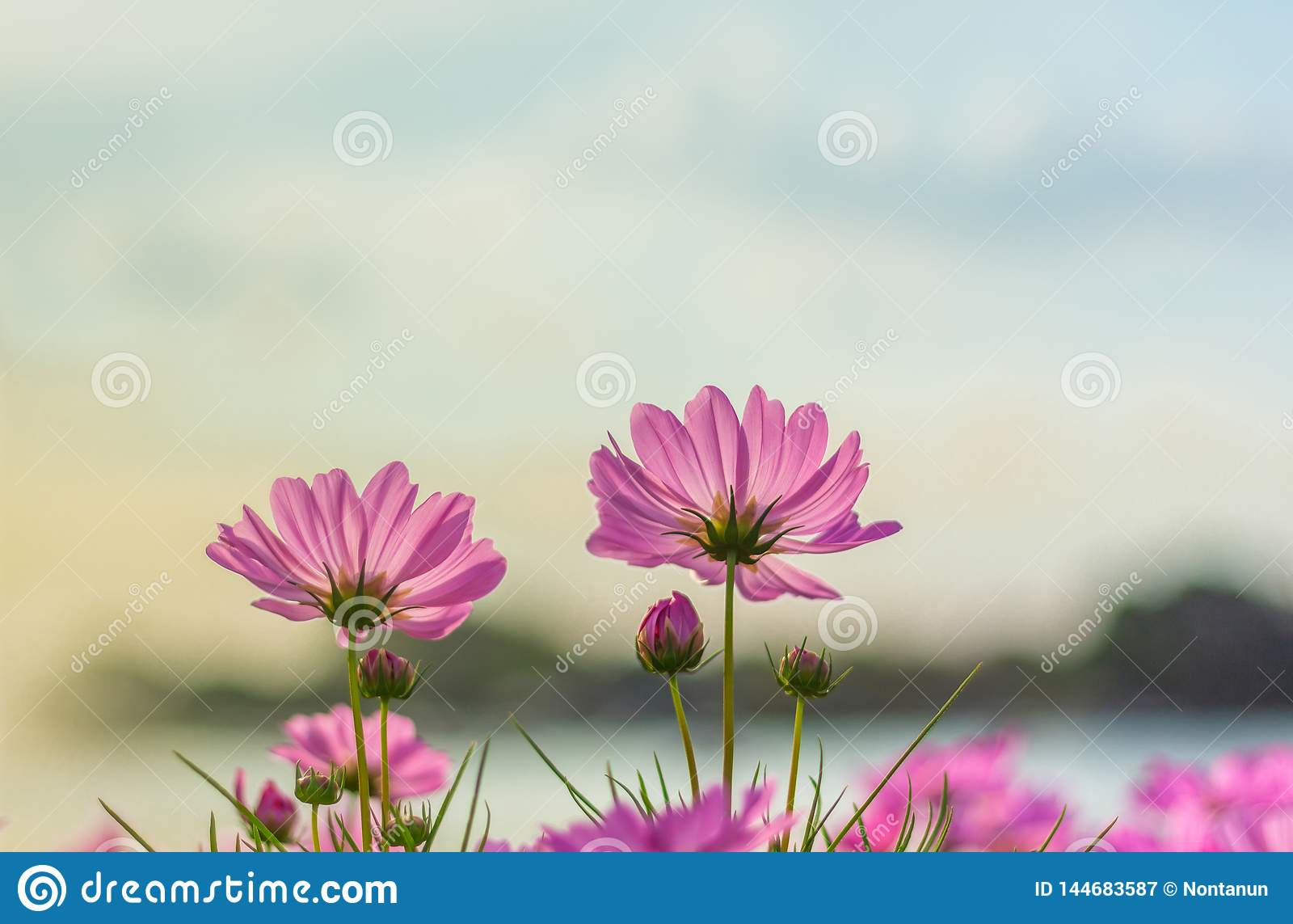 Flor cor-de-rosa do cosmos que floresce belamente para o fundo