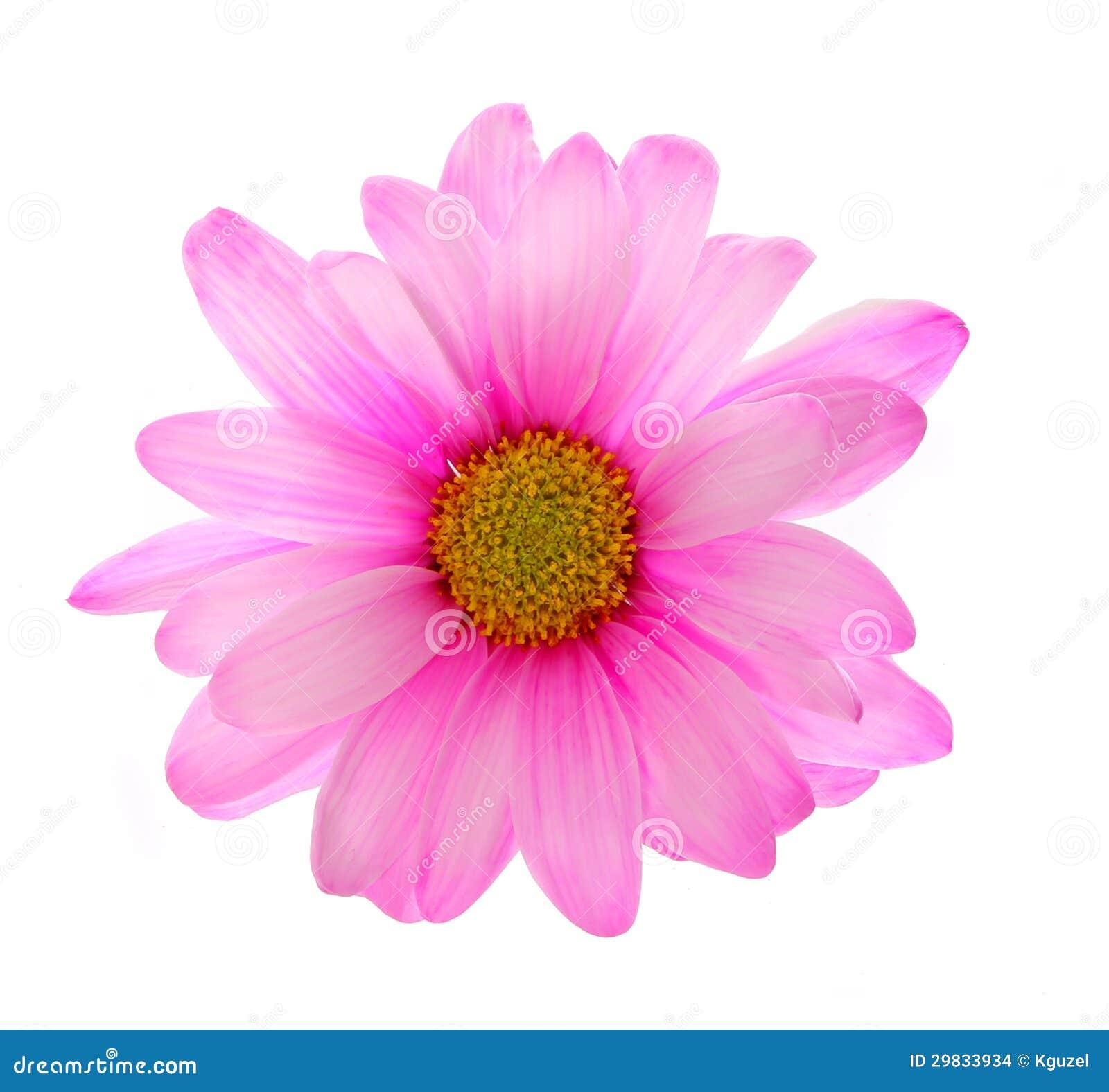 Flor cor-de-rosa do crisântemo isolada