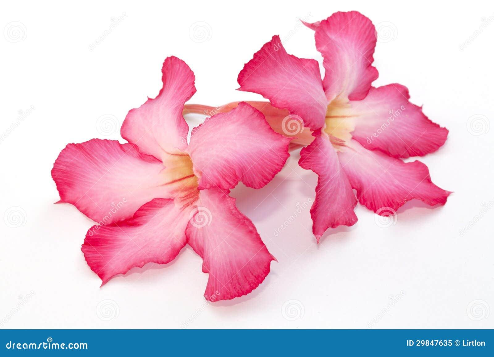 Flor cor-de-rosa do deserto isolada
