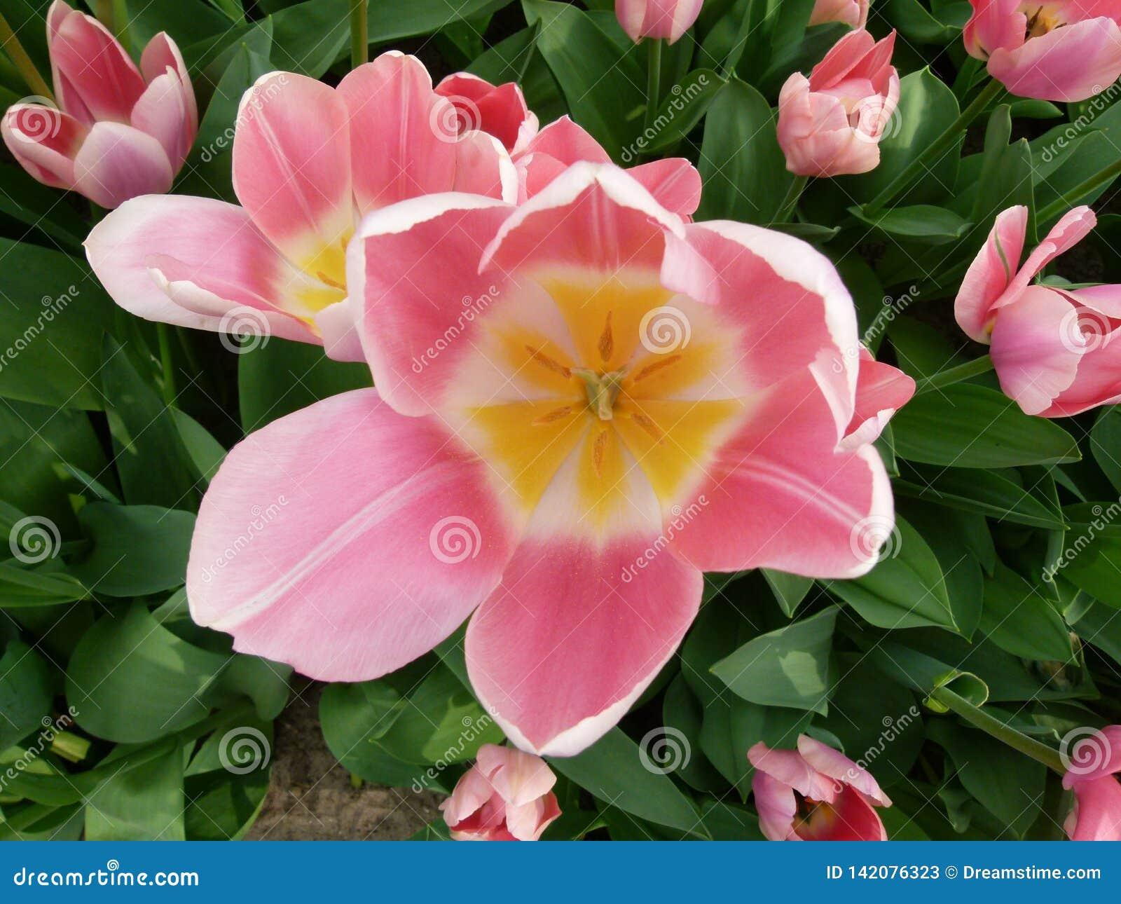 A flor cor-de-rosa dos keukenhof bonitos, Amsterdão