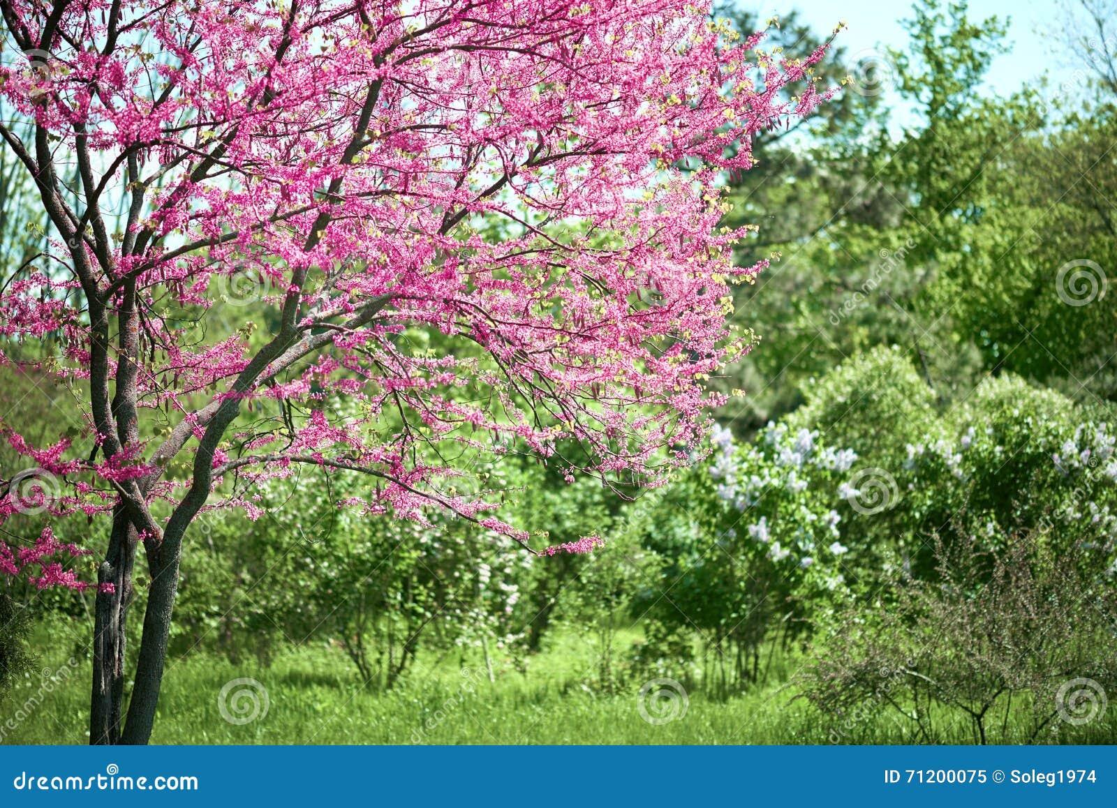 derosa em ramos de árvore floresce em um jardim, paisagem bonita da
