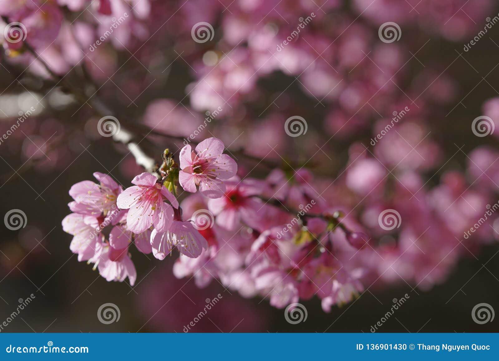 Flor cor-de-rosa macia da flor de sakura em Dalat, montanhas centrais de Vietnam