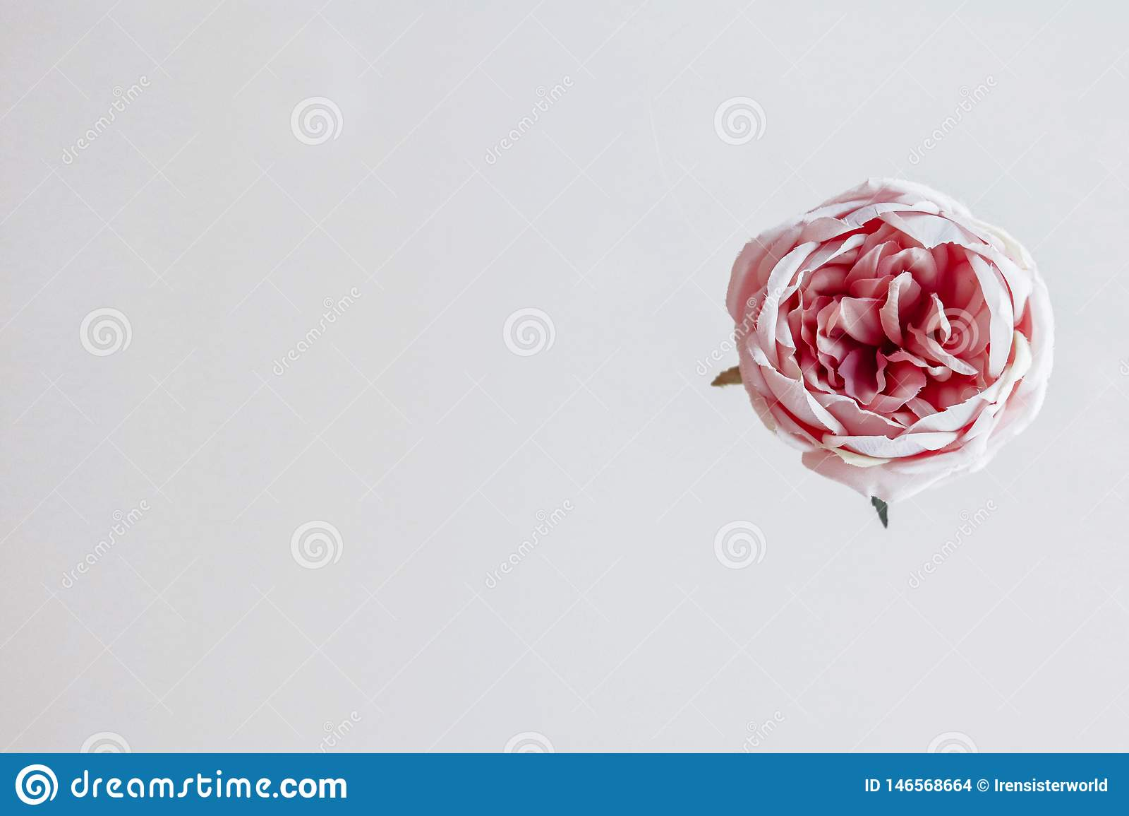 Flor cor-de-rosa no fundo branco