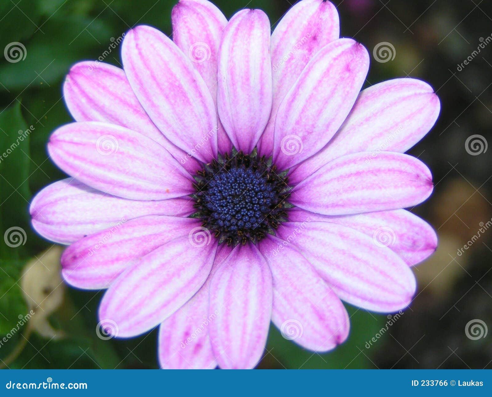 Flor cor-de-rosa/roxa