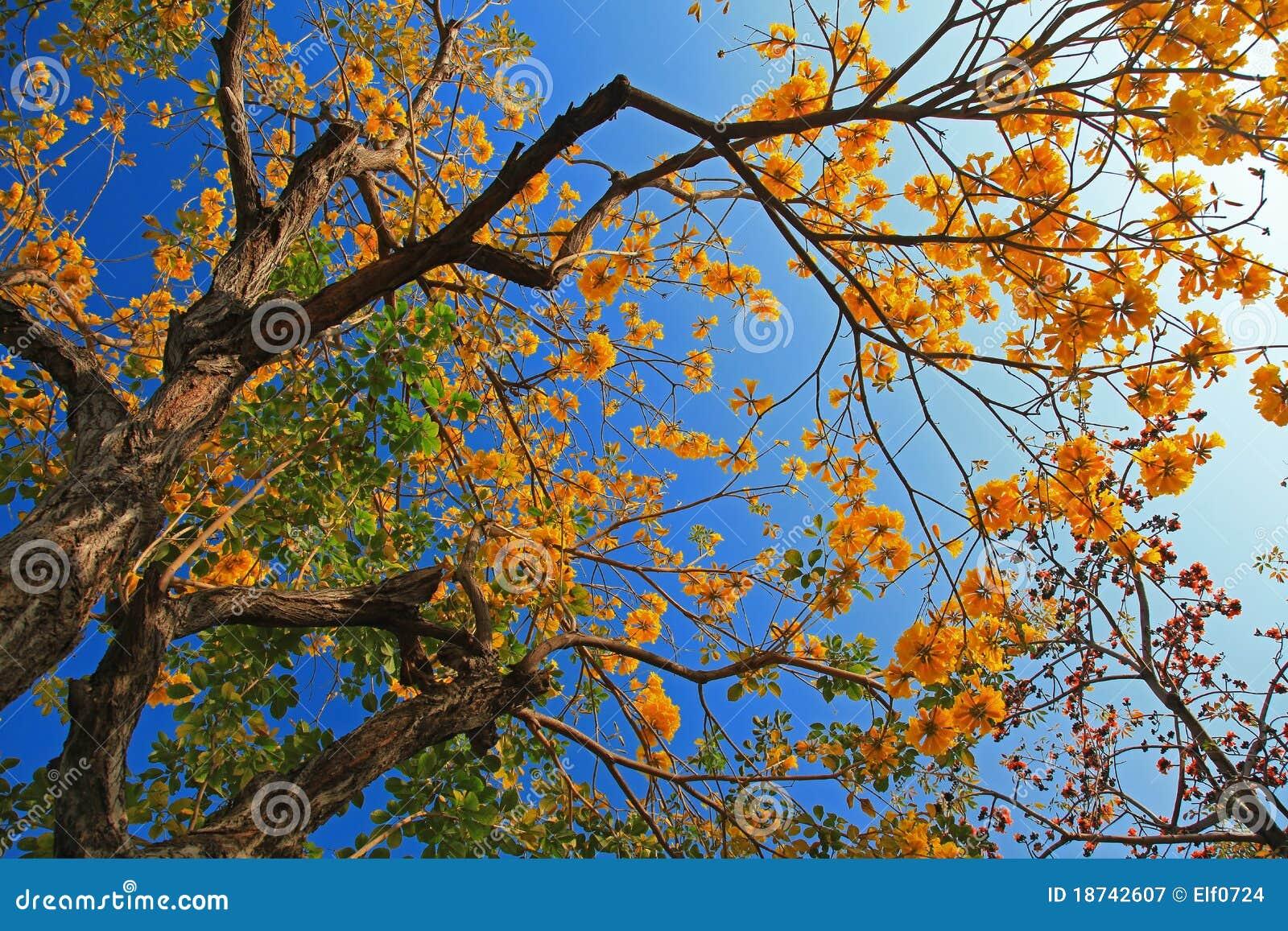 Flor da árvore do algodão de Tree& da trombeta dourada
