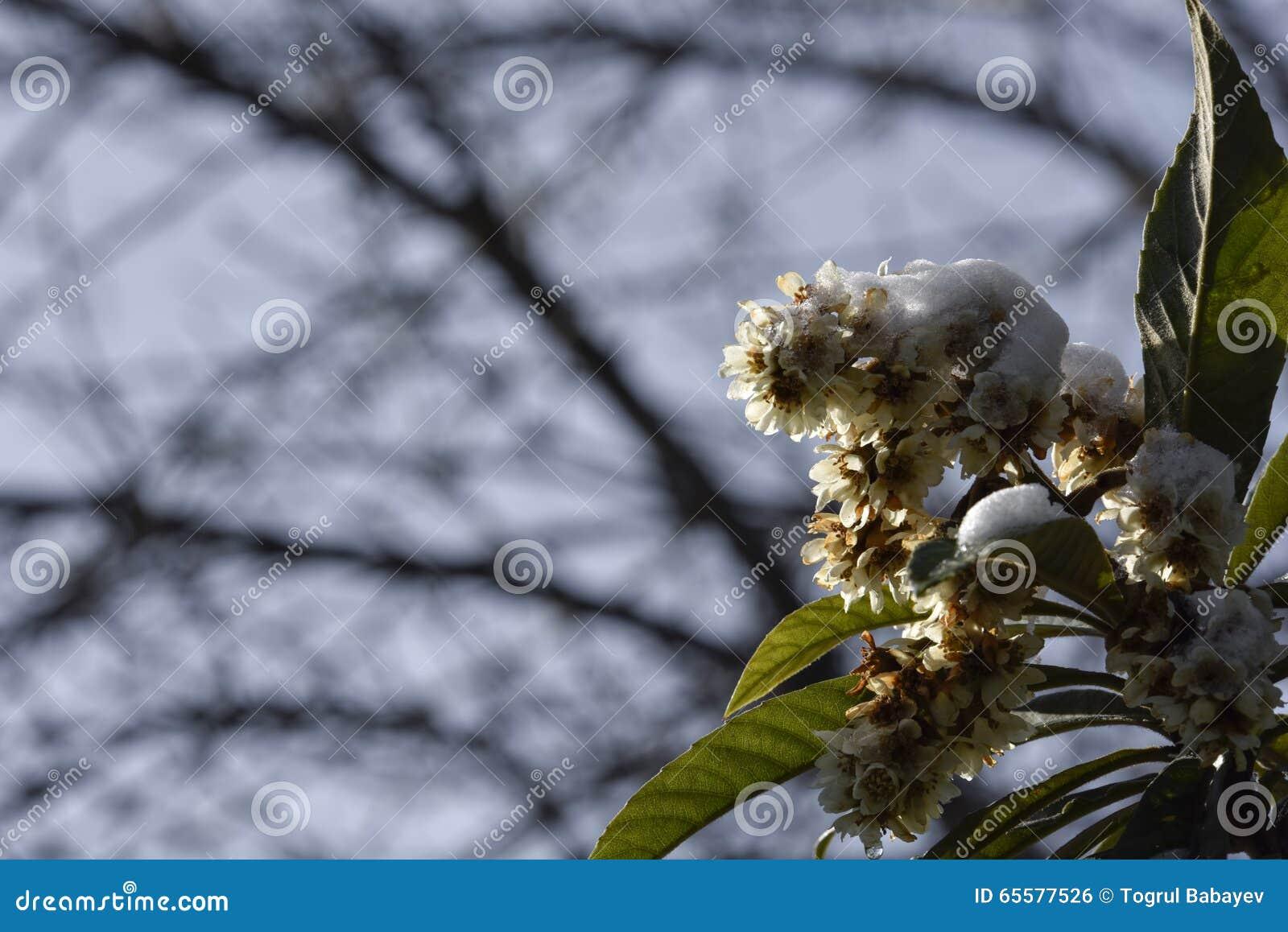 Flor da árvore do inverno