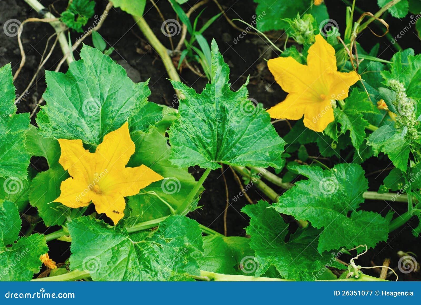 Flor da abóbora
