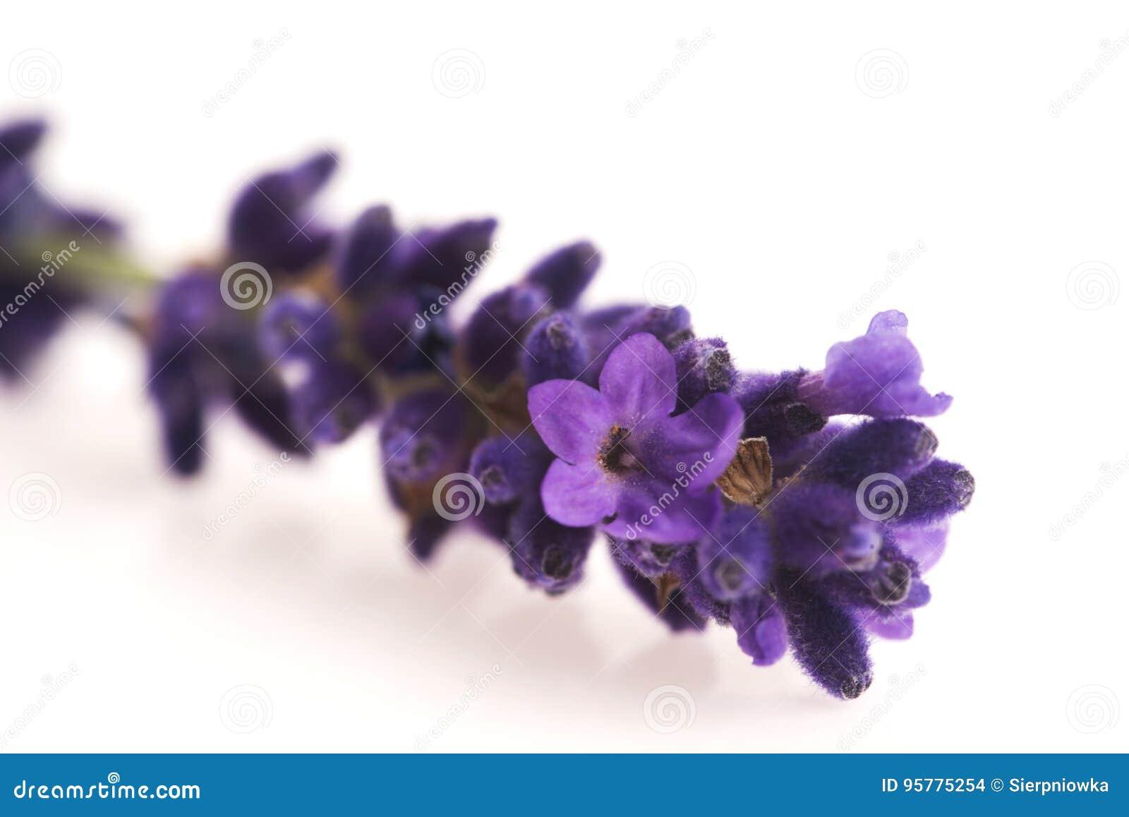 Flor da alfazema