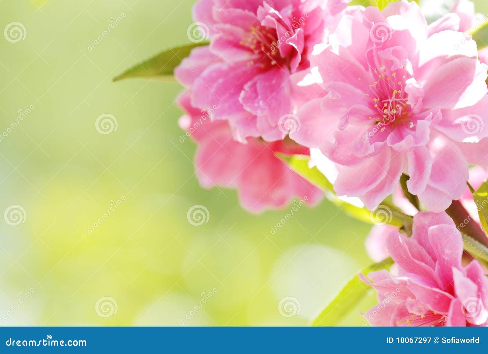 Flor da ameixa