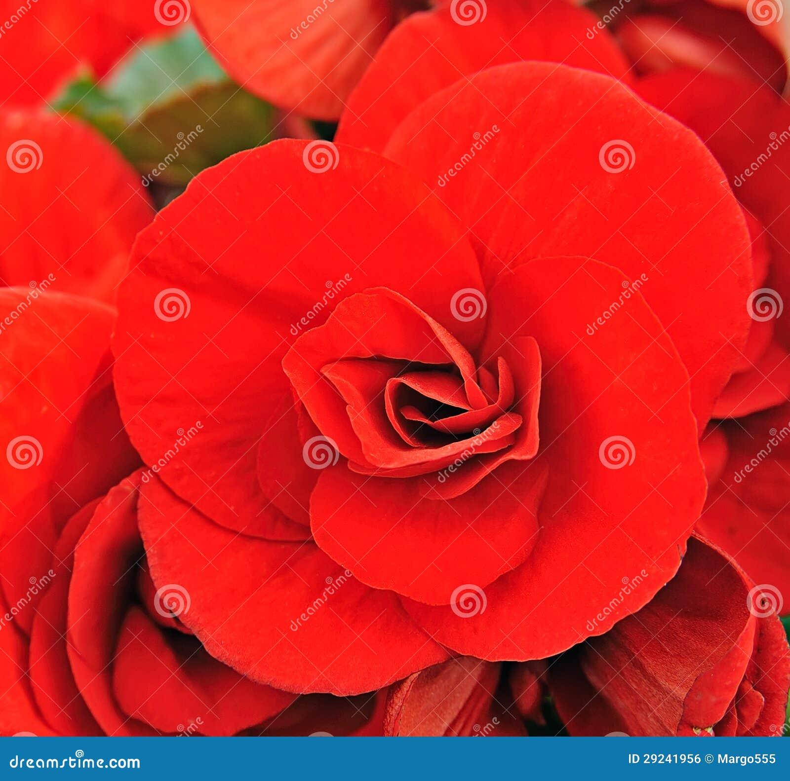 Download Flor da begónia foto de stock. Imagem de jardinar, cores - 29241956