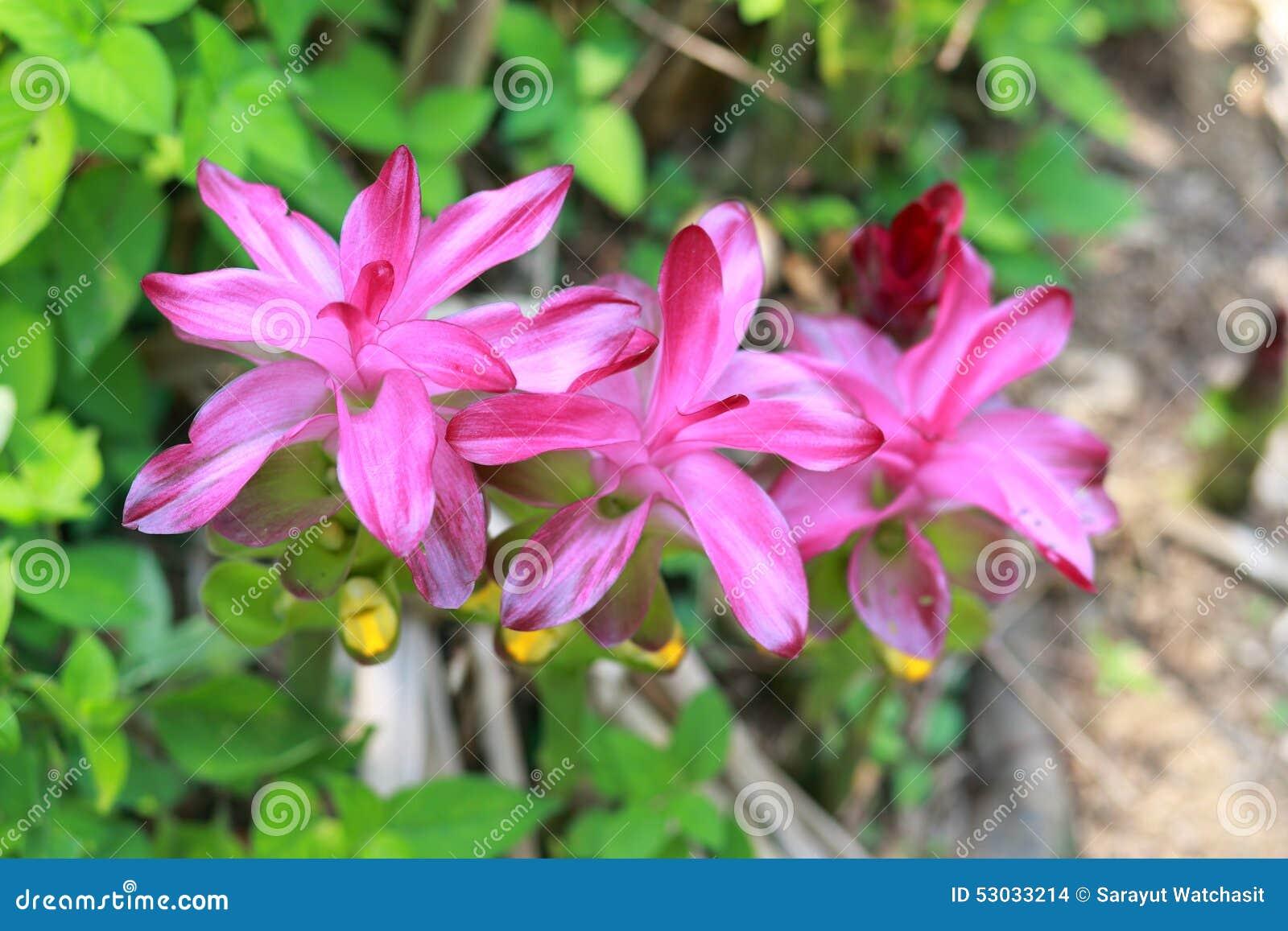 Flor da cúrcuma