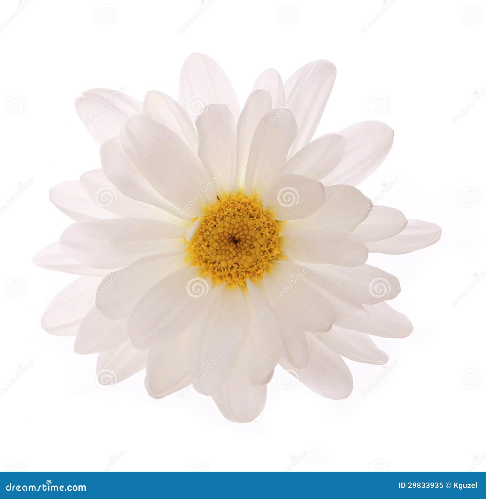 Flor da camomila isolada