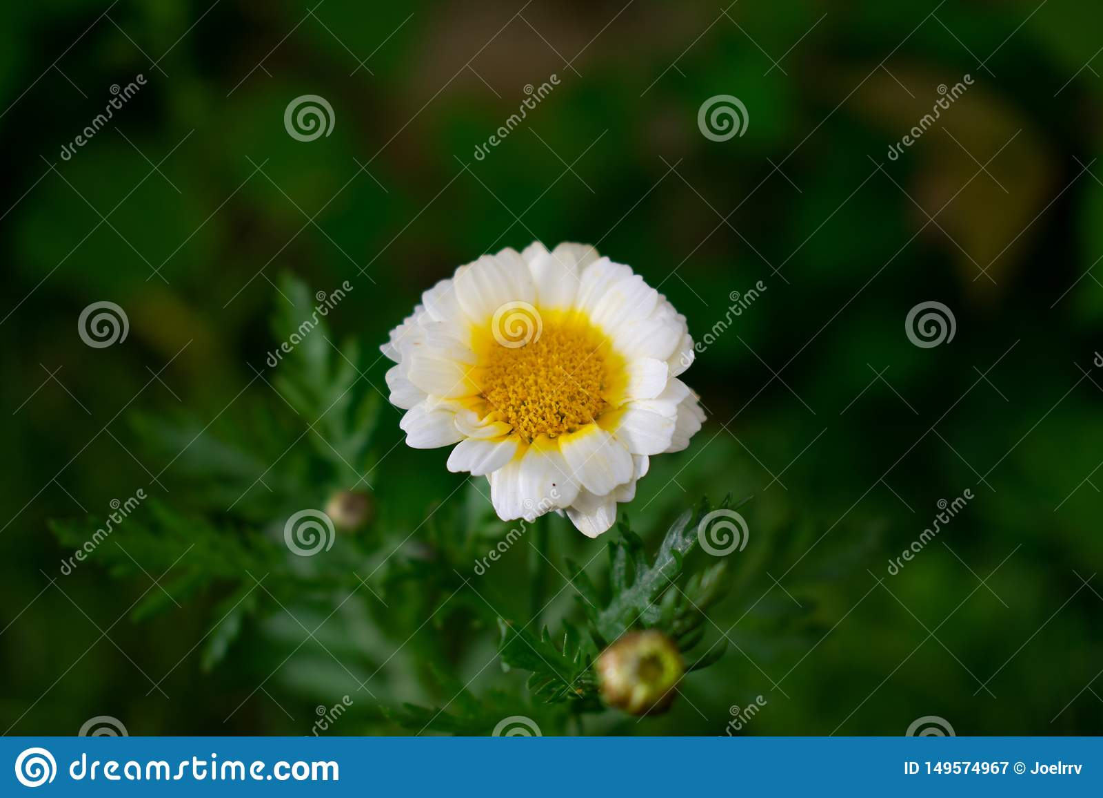 Flor da camomila no fundo obscuro verde