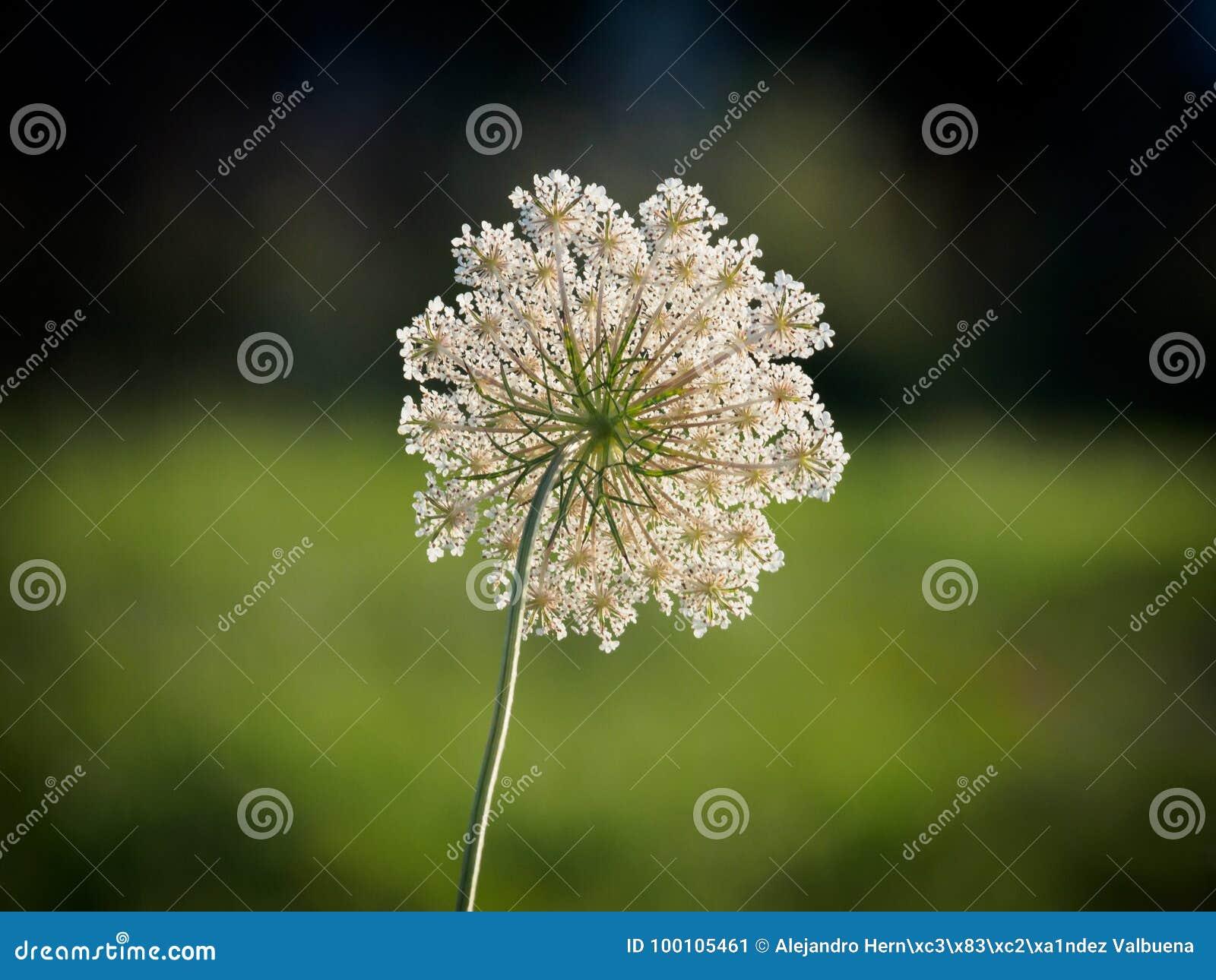 Flor da cenoura selvagem