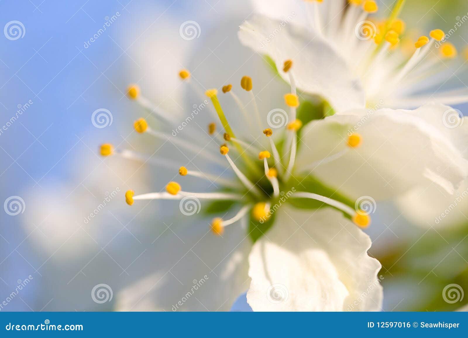 Flor da cereja