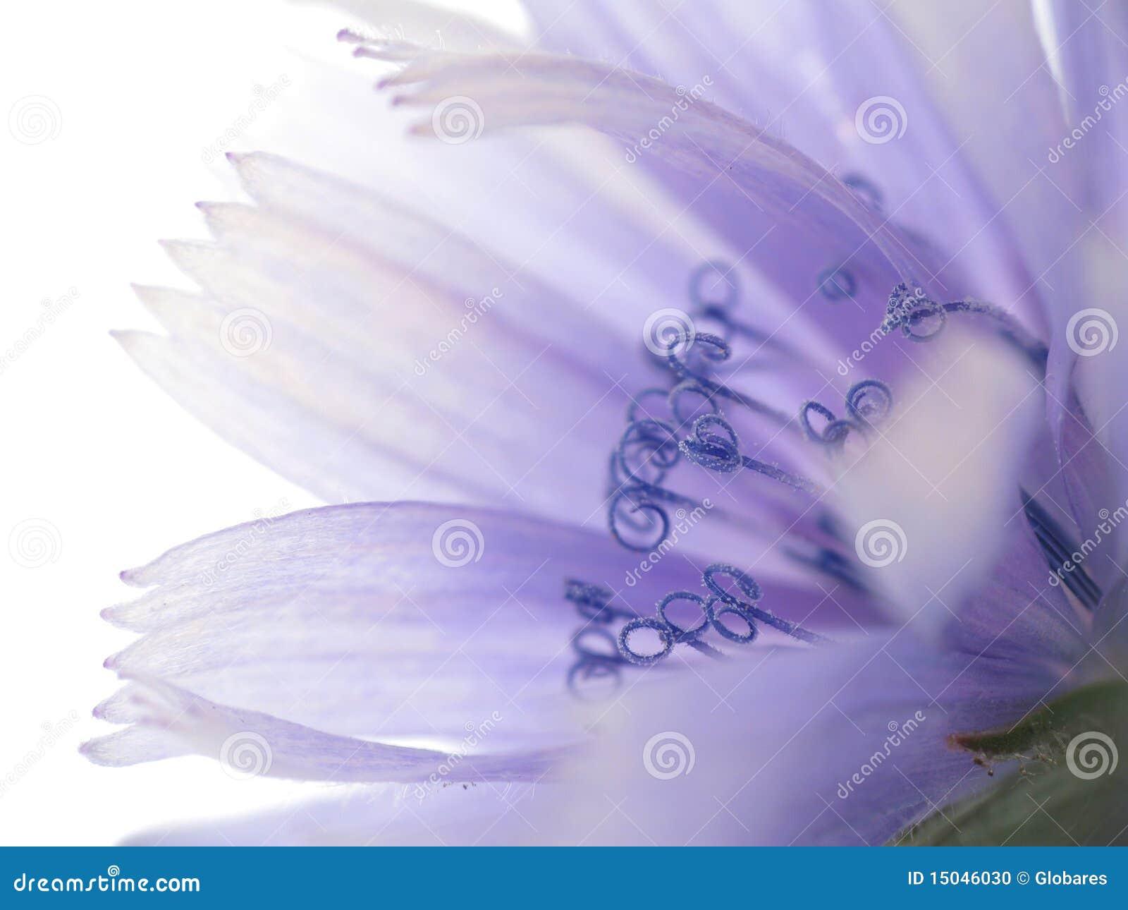 Flor da chicória