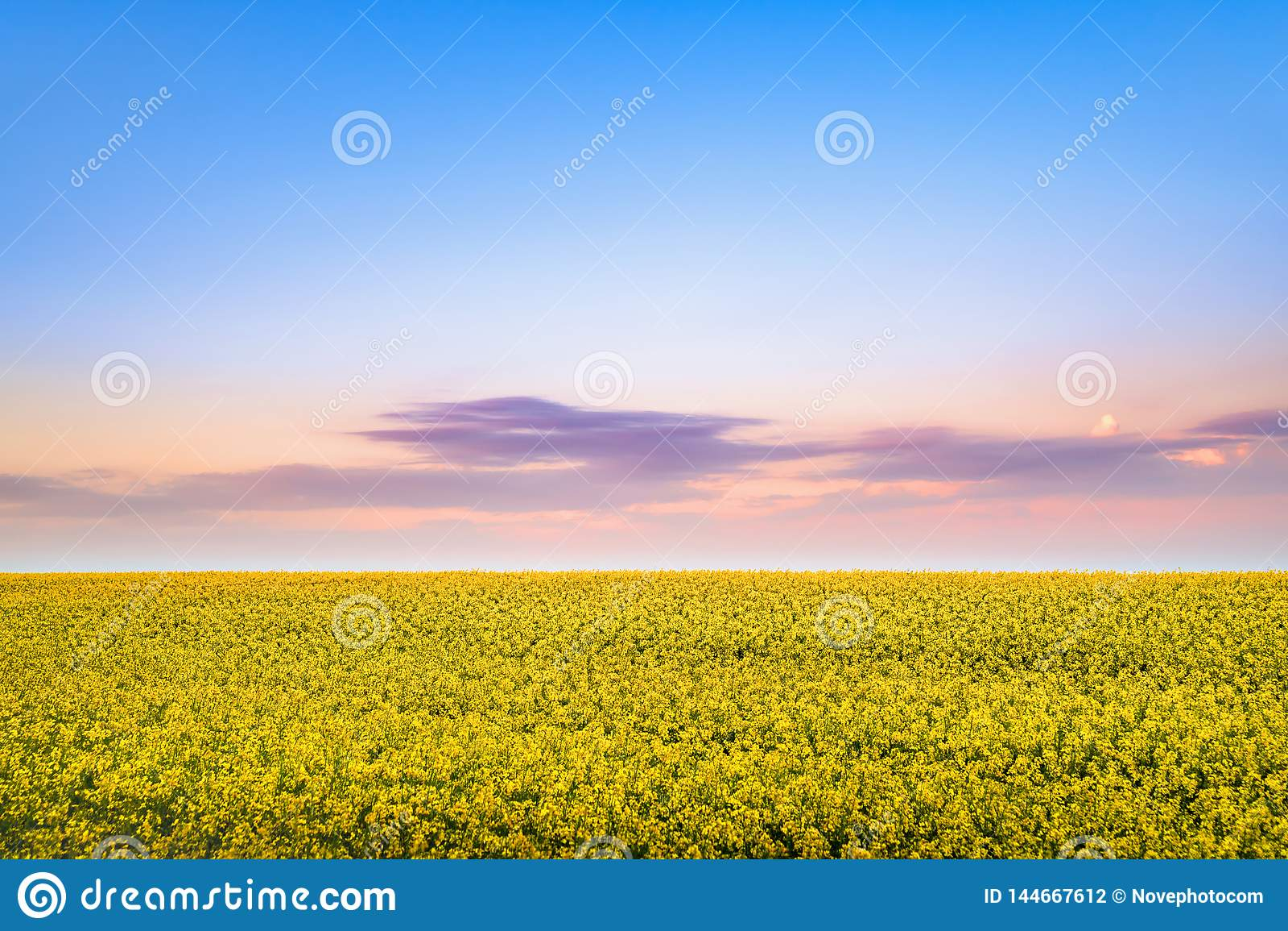 Flor da colza na primavera no por do sol