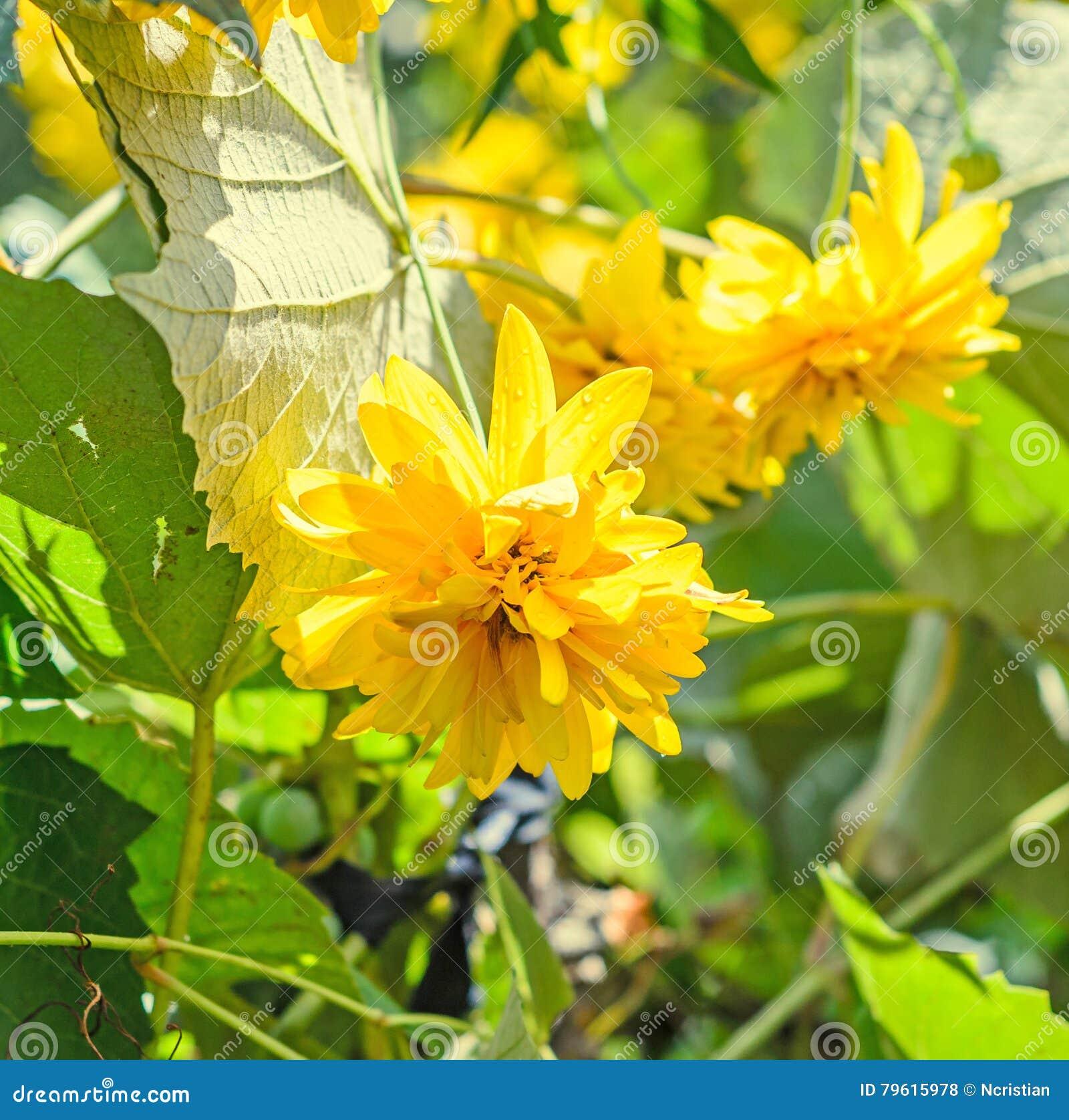 Flor da dália, margarida ou crisântemo amarelo, natural colorida