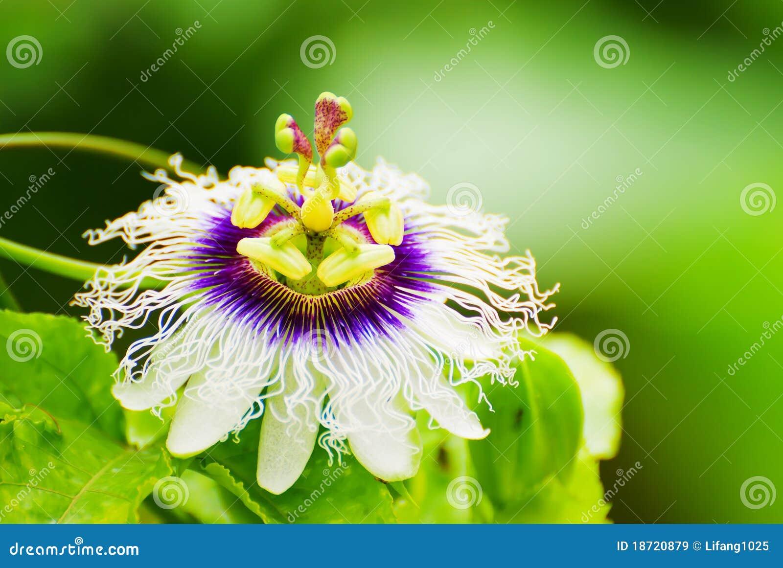 Flor da fruta de paixão
