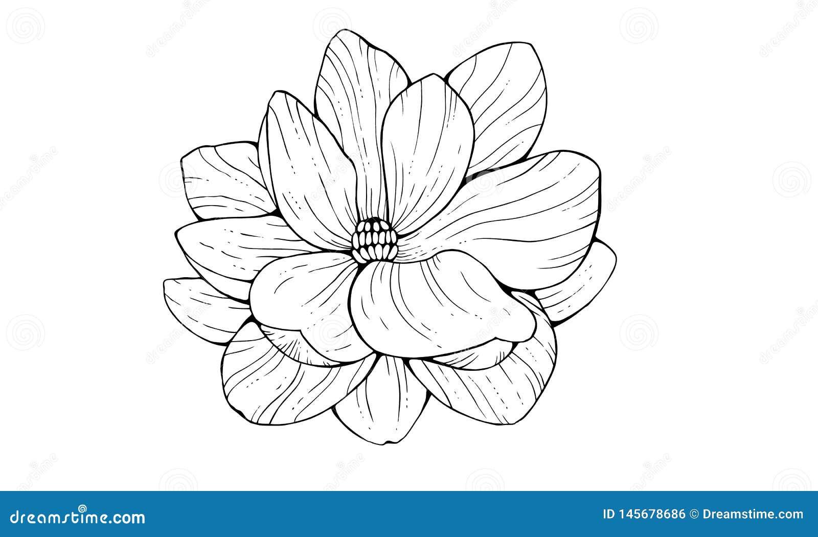 Flor da magnólia no estilo do contorno isolada no fundo branco