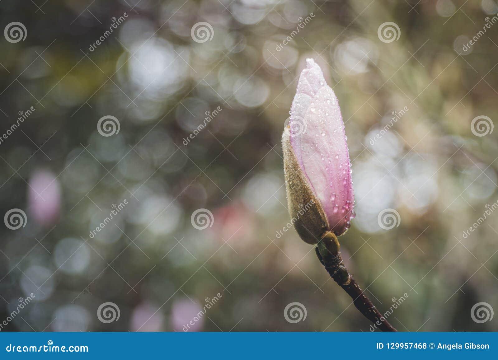 Flor da magnólia no tempo de mola