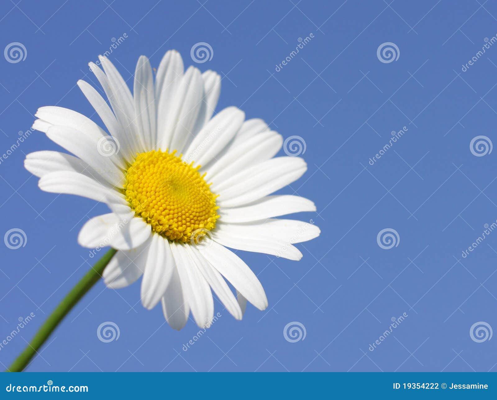 Flor da margarida no dia ensolarado