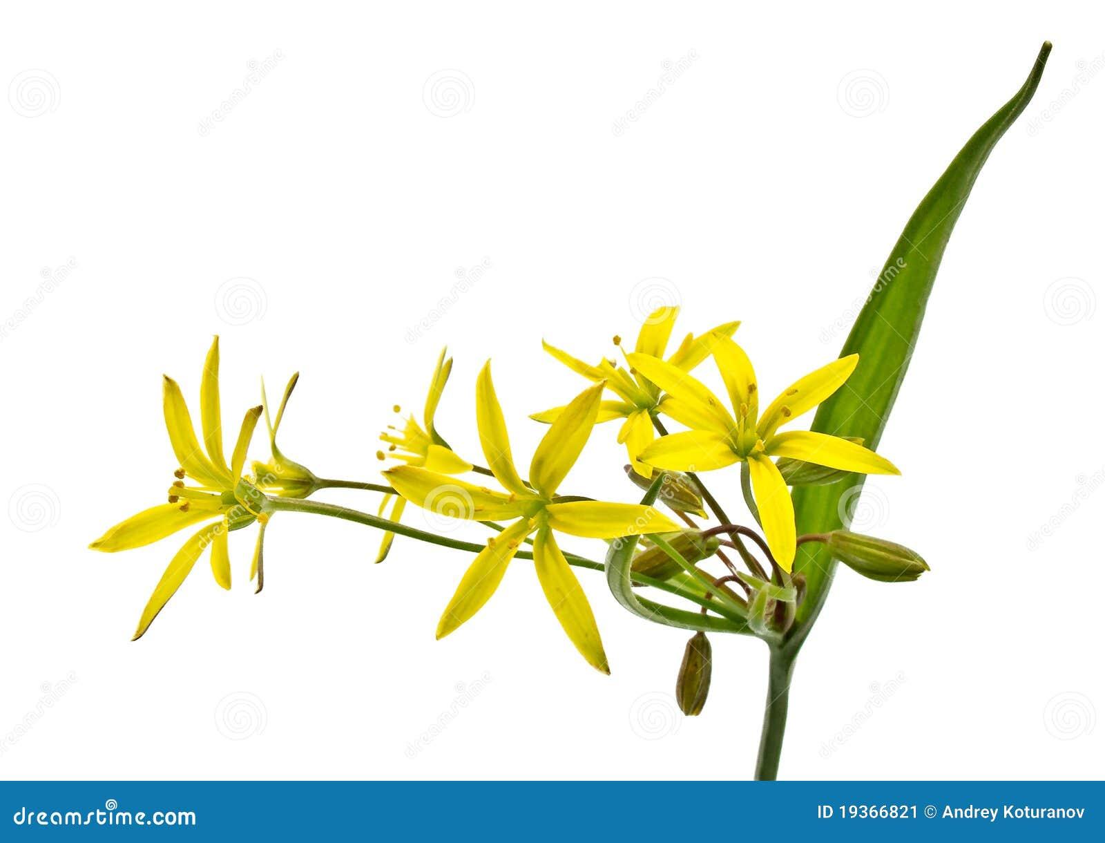 Flor da mola (lutea de Gagea)