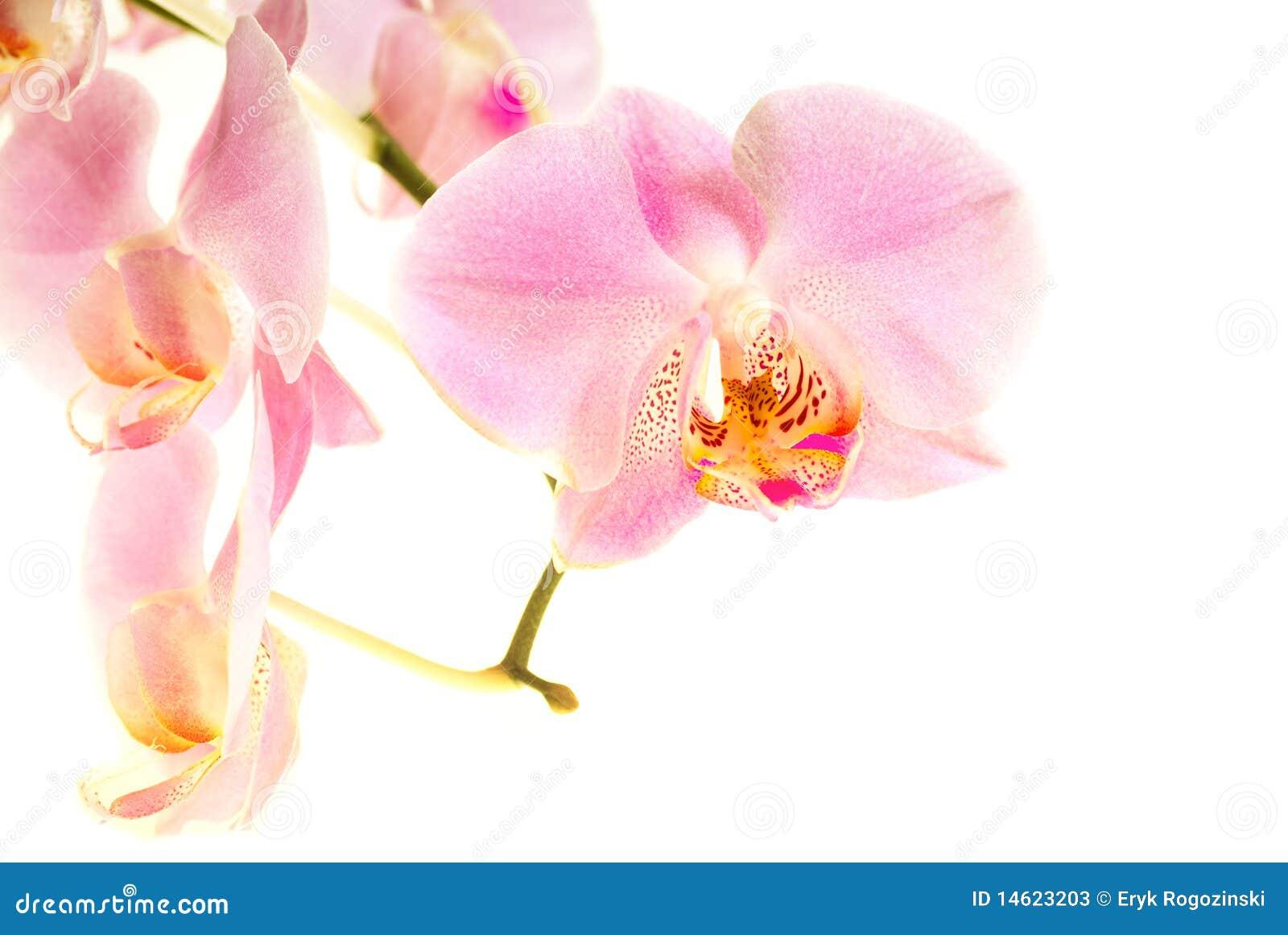 Flor da orquídea