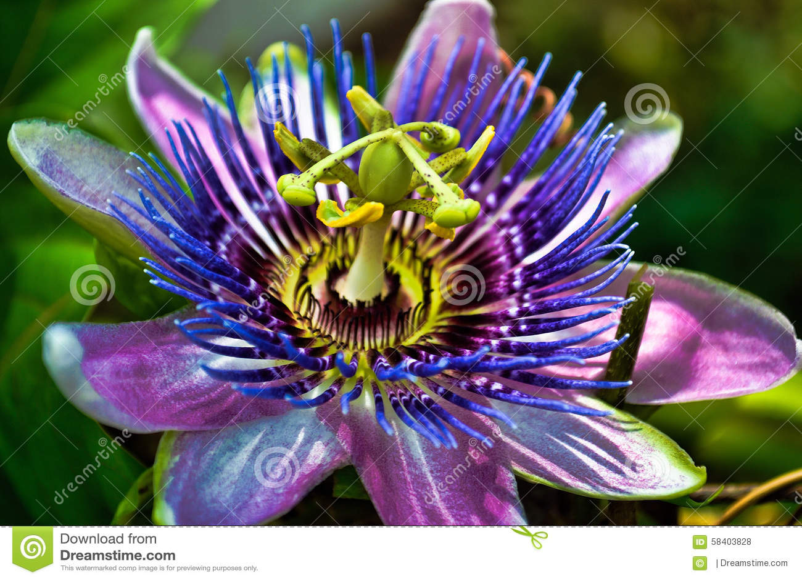 Flor da paixão