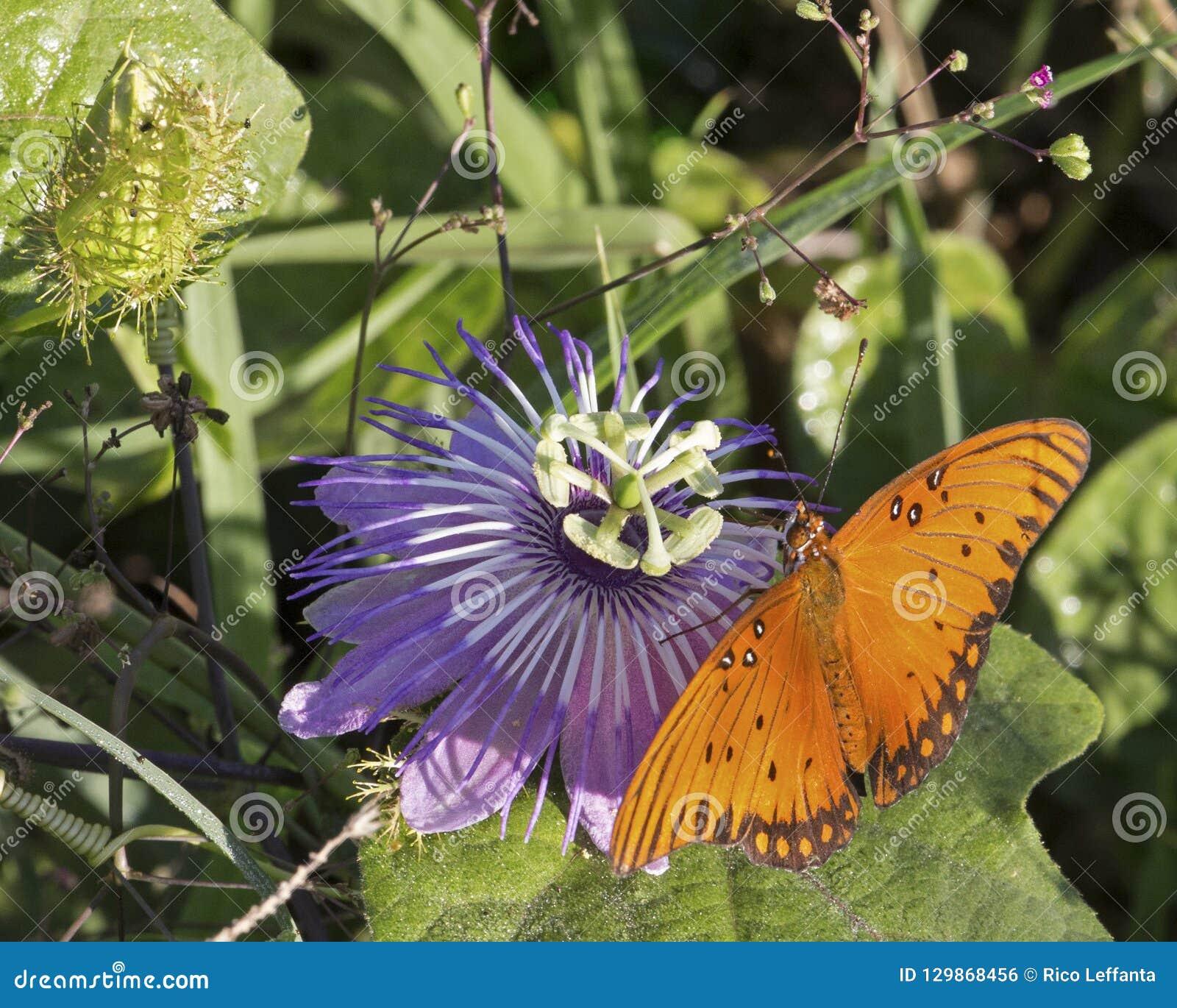 Flor da paixão da borboleta