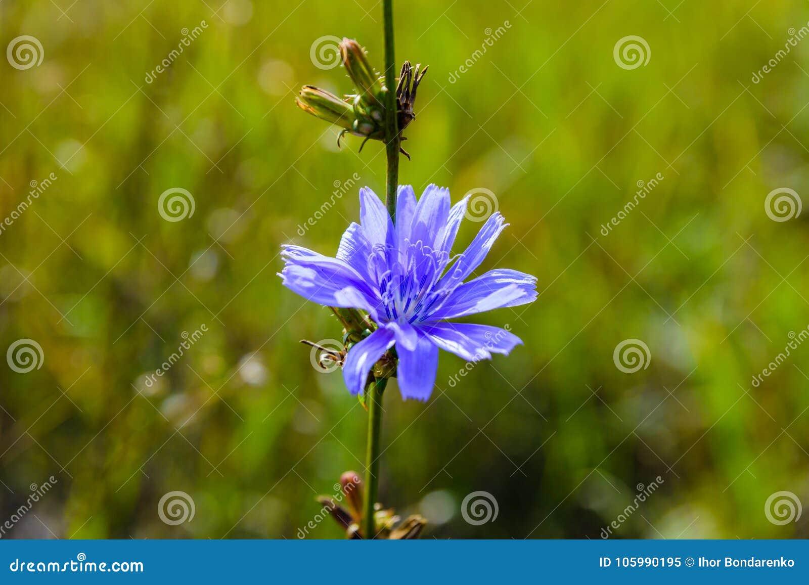 Flor da planta de chicória comum