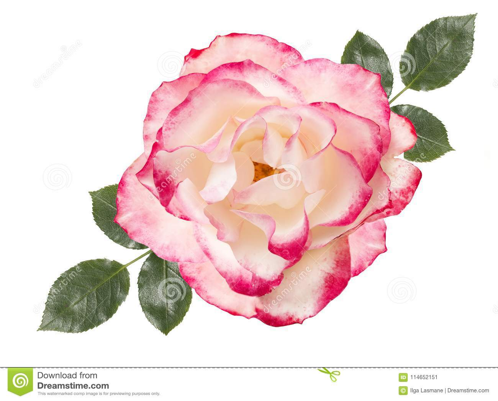 Flor da rosa do branco, isolada no fundo branco