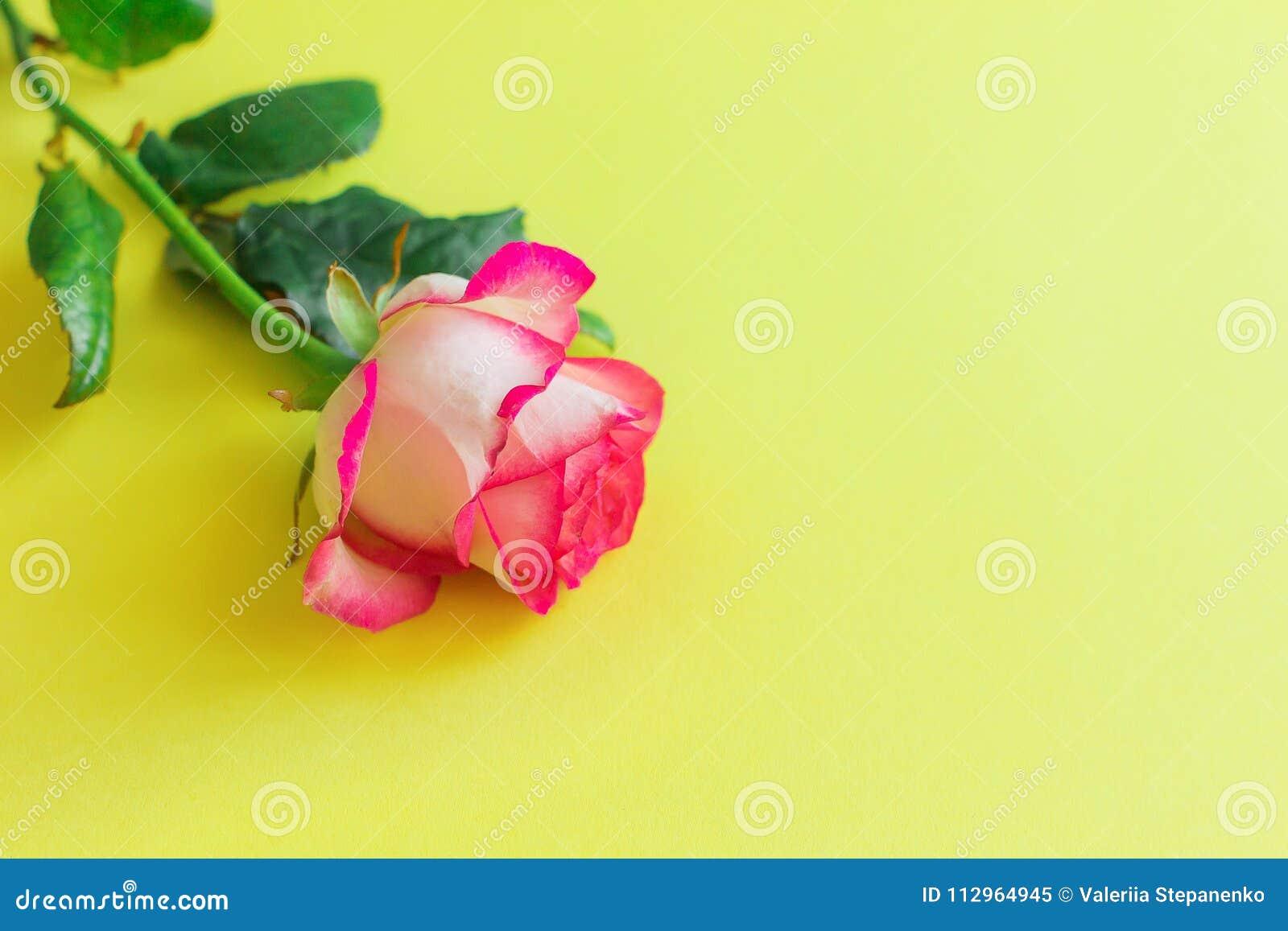 Flor da rosa do rosa em um fundo amarelo brilhante horizontalmente