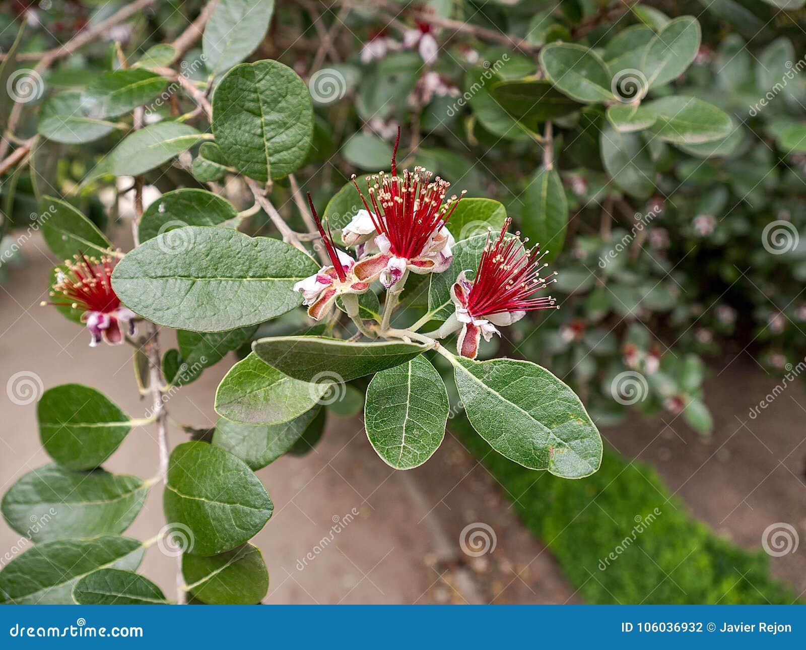 Flor De Acca Sellowiana Foto De Archivo Imagen De Primer 106036932